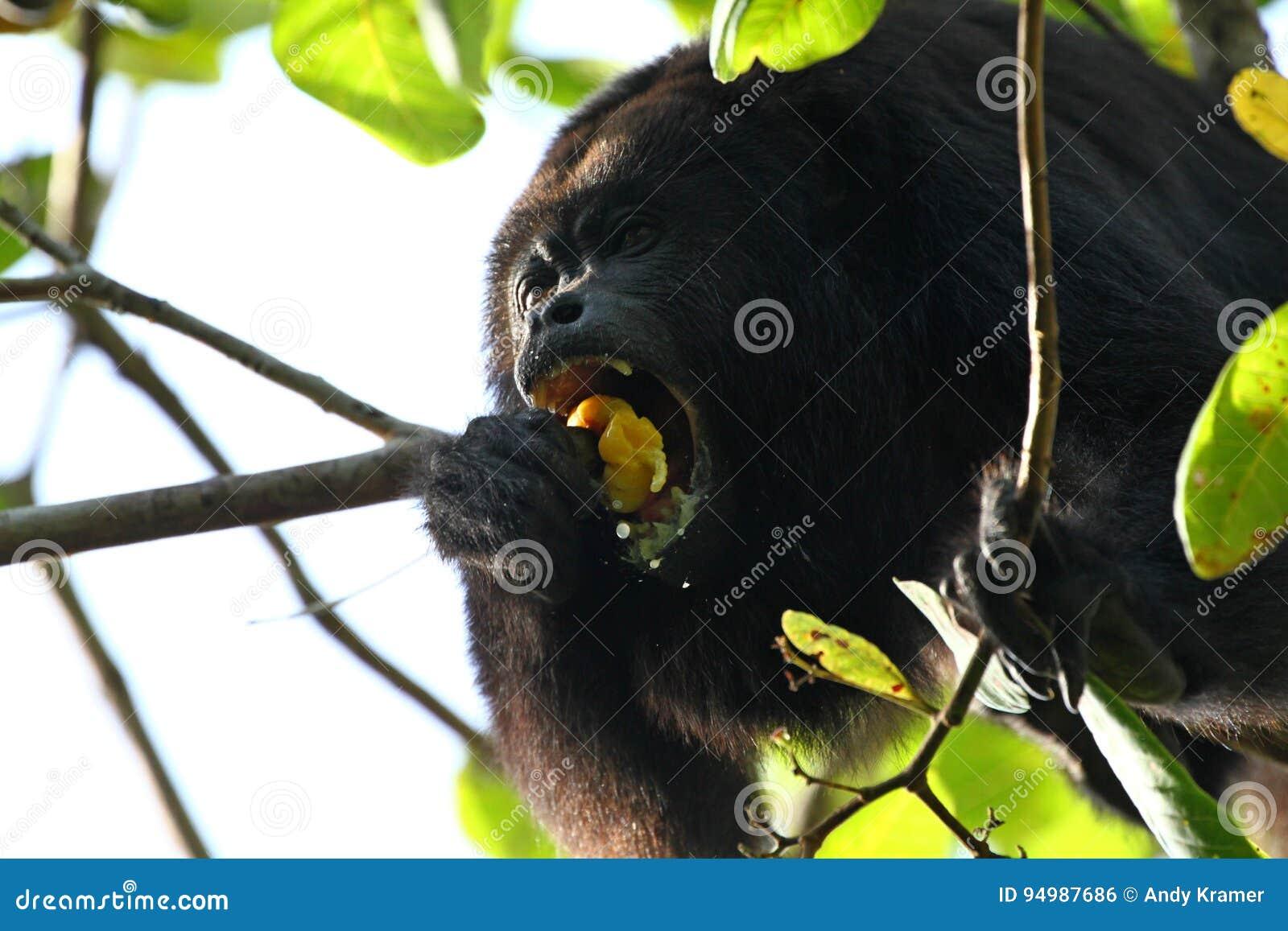 Singe d hurleur noir mangeant d un fruit d anarcadier