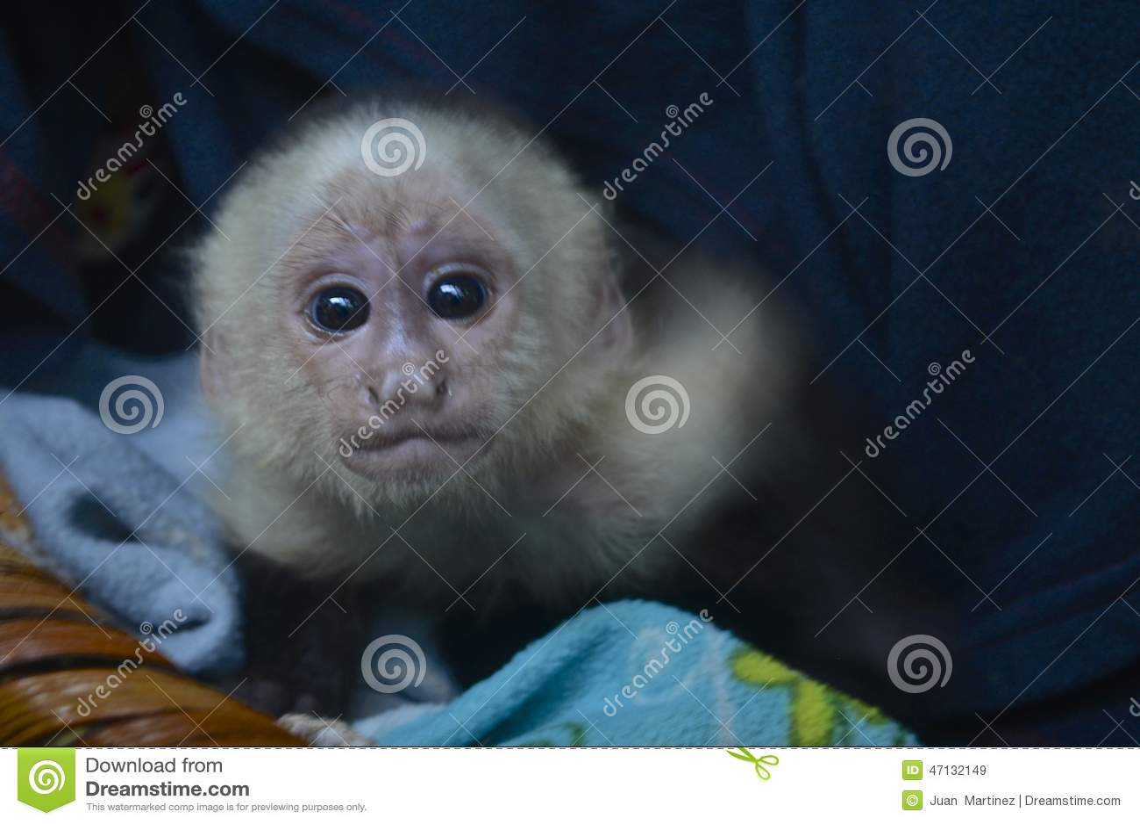 Singe de capucin de bébé