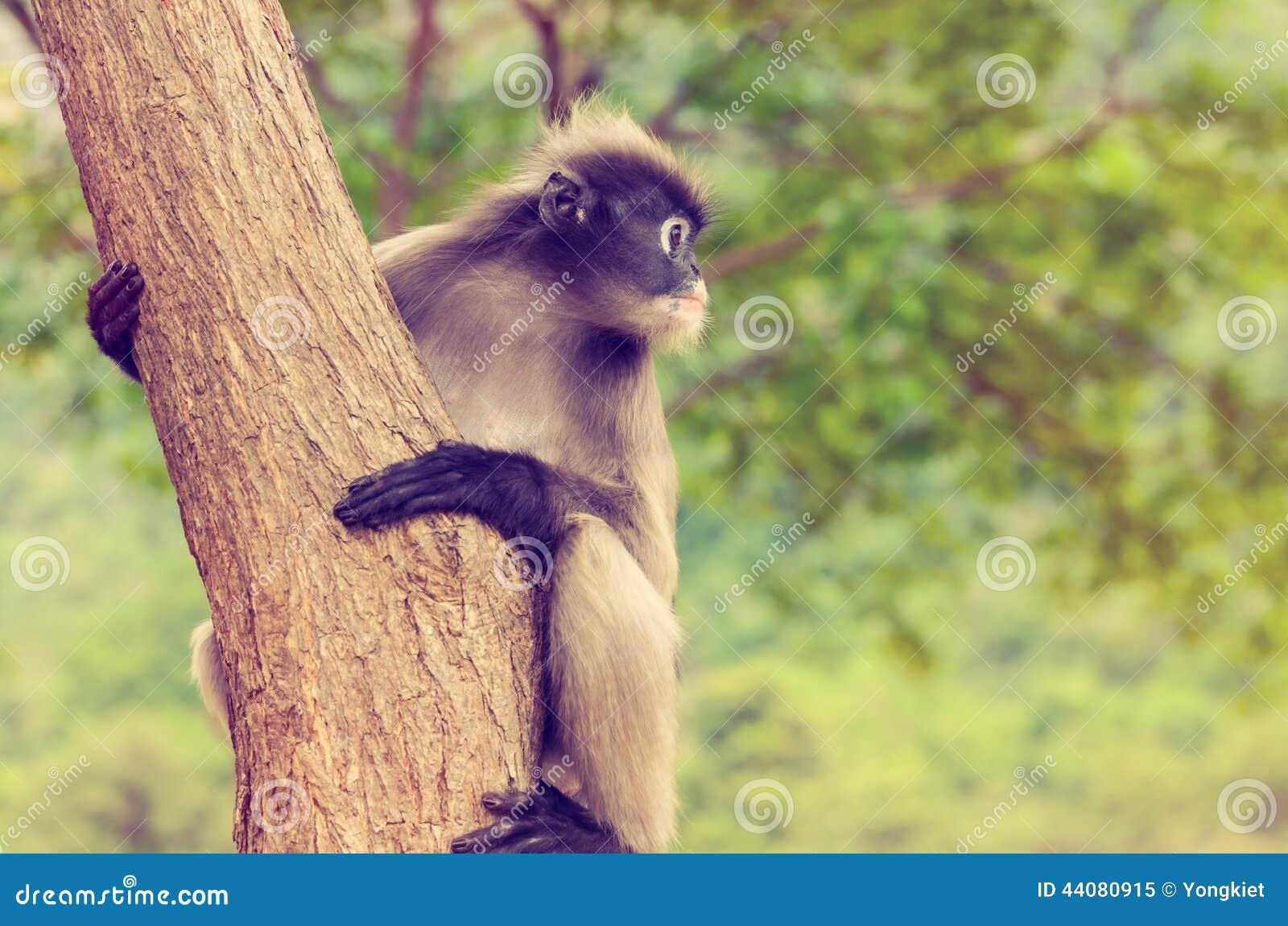 Singe de feuille de vintage ou obscurus sombre de Trachypithecus sur l arbre
