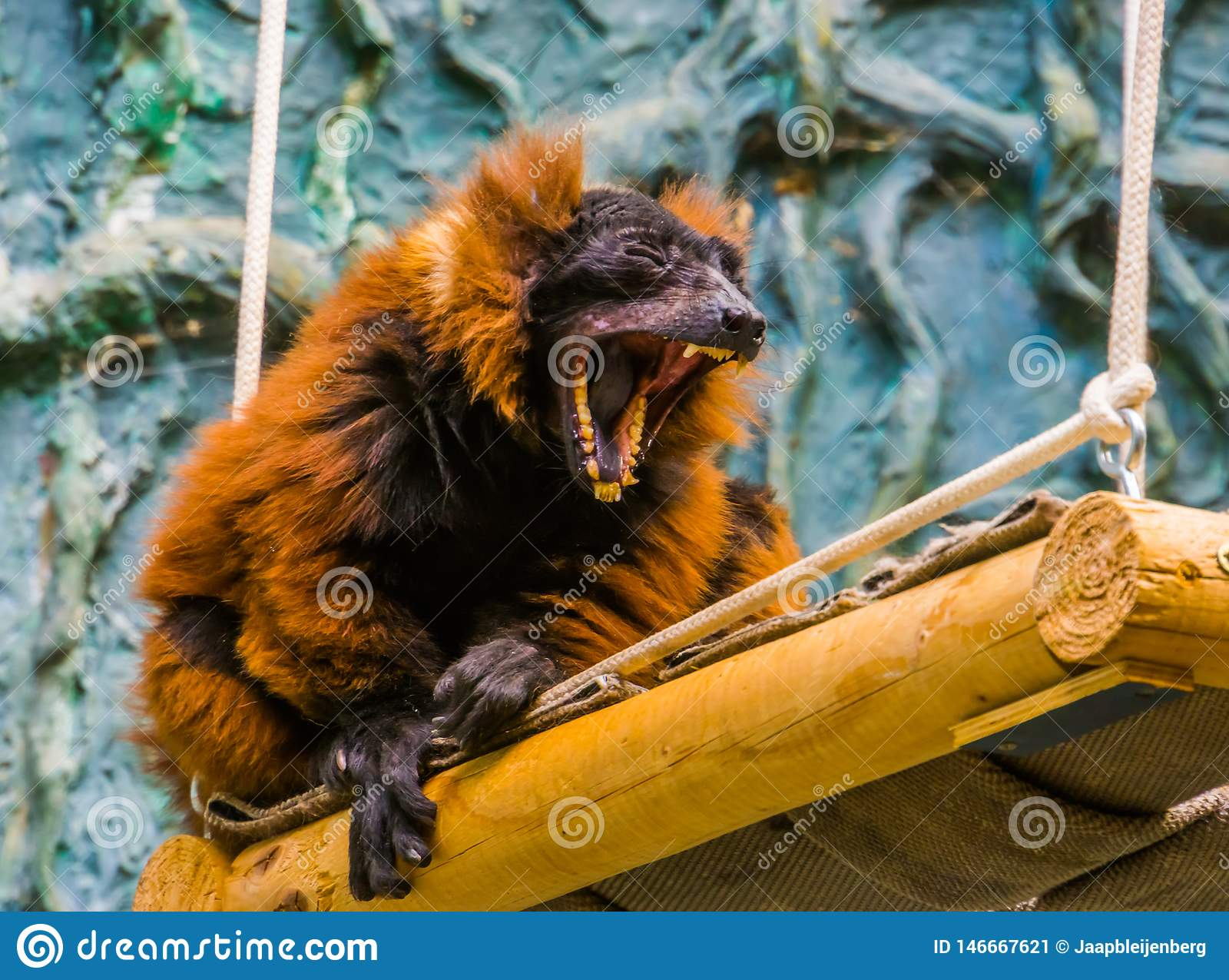 Singe ruffed rouge de lémur baîllant avec la bouche ouverte large, montrant son dentier avec des dents, primat drôle, en critique
