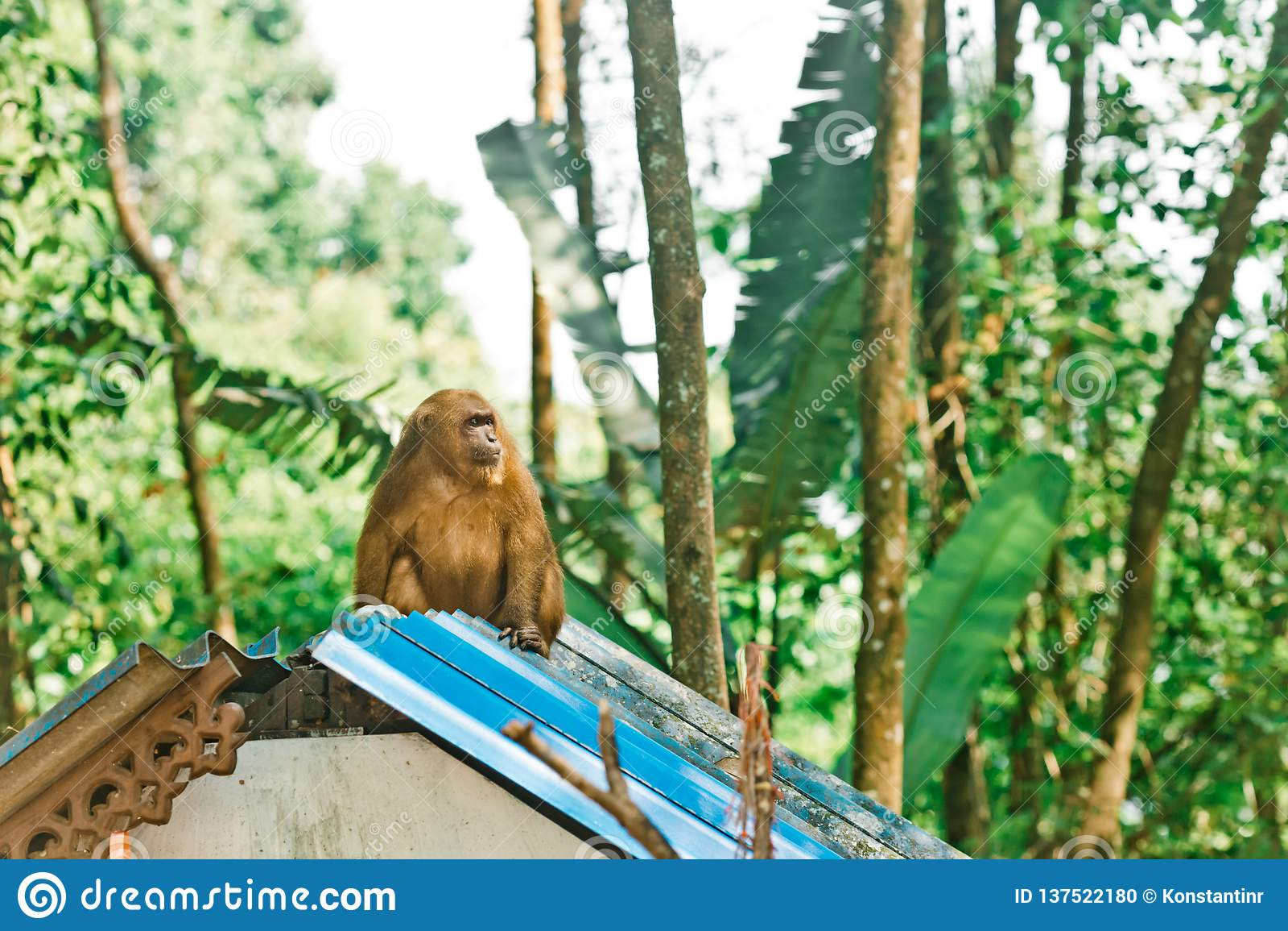 Singe se reposant sur le toit d une hutte en Thaïlande