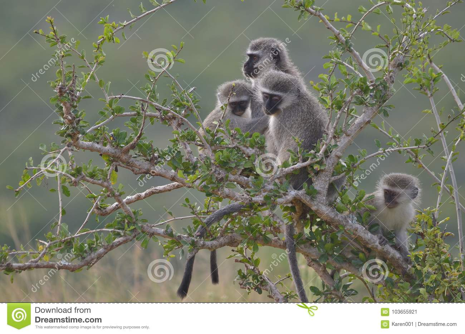 Singes de Vervet chez Addo Elephant National Park