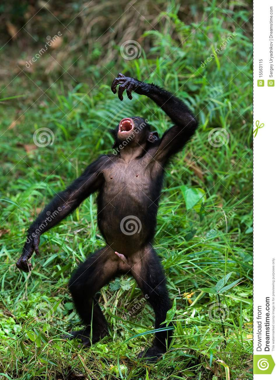 The Bonobo, Pan paniscus, previously called the Pygmy Chimpanzee and ...
