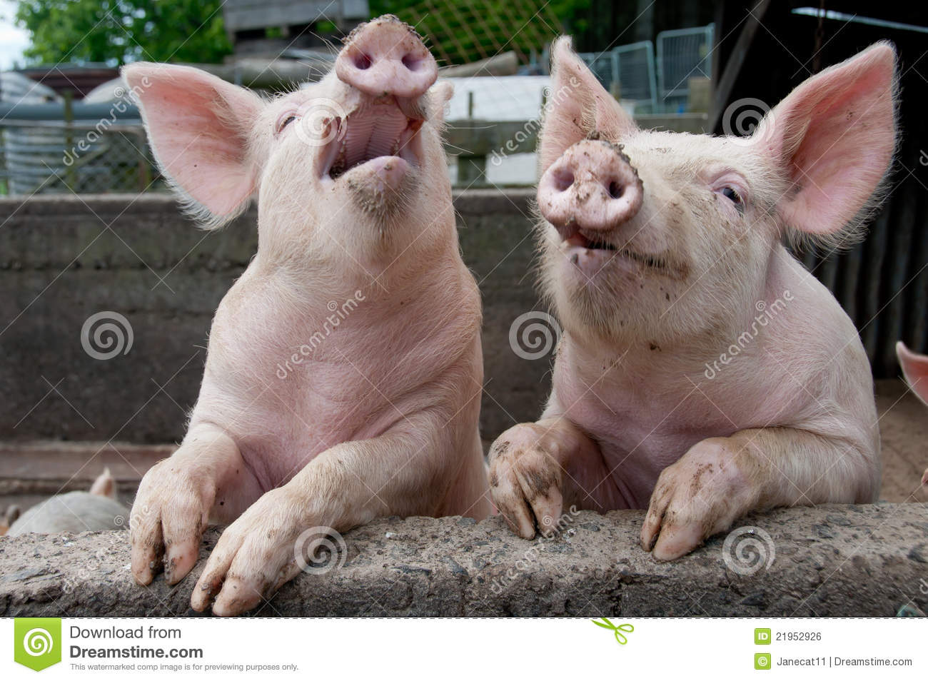 Pigs in pig sty being funny by climbing up on side and looking like ...
