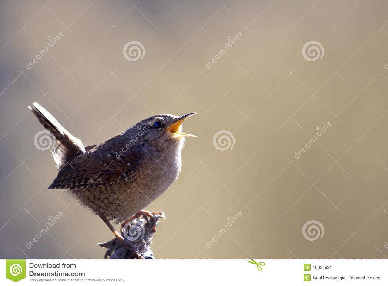 Northern Wren. It is a very small bird, the only one of nearly sixty species in the family that occurs in the Old World. According to European folklore, the Wren is the King of the Birds.