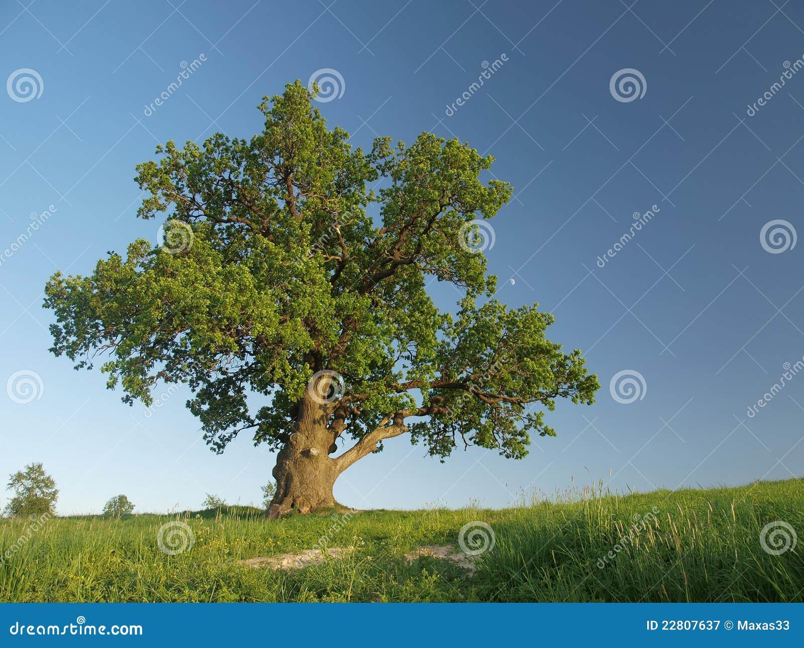 Singl oak tree.