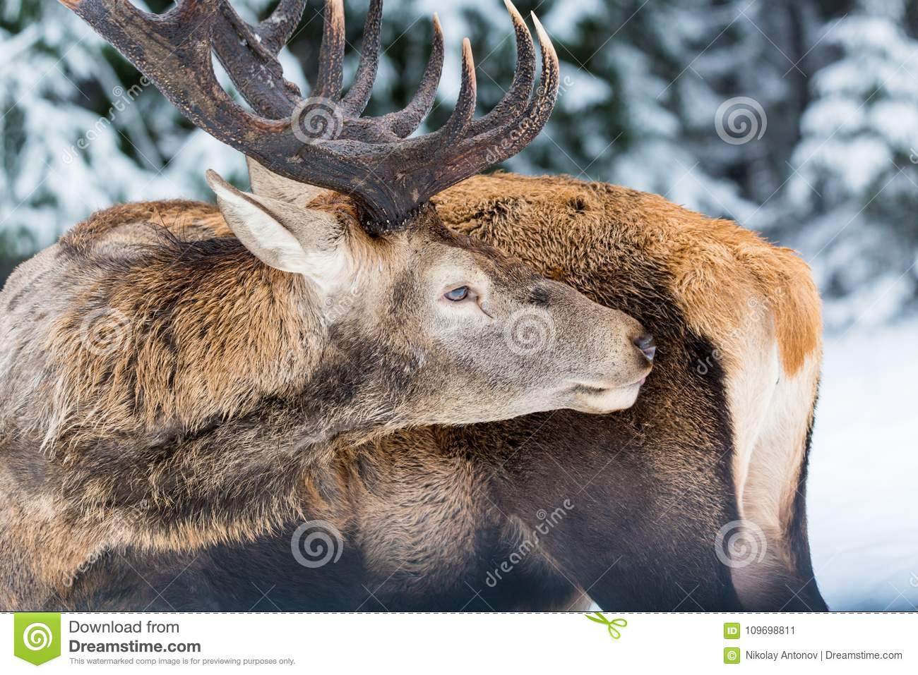 Single adult noble deer with big beautiful horns licking fur on winter forest background. Close up portrait