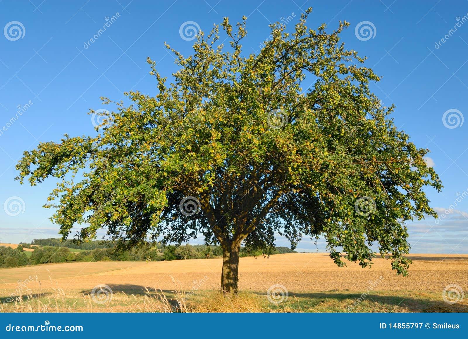 Single apple tree in mid-summer