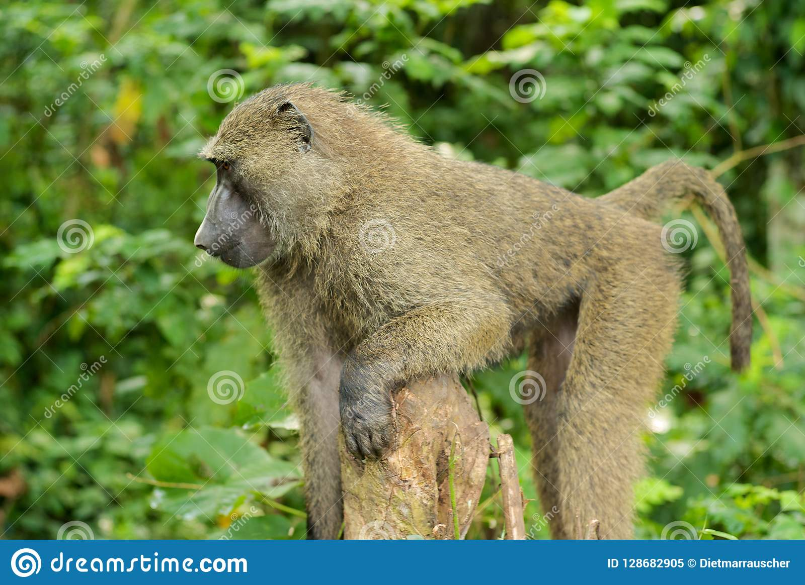 A Single Baboon in the Jungle