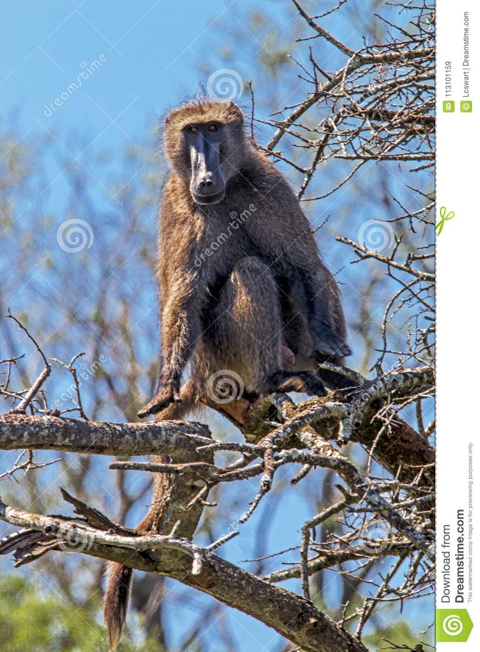 Single Baboon Sitting on Dry Leafless Tree Branches