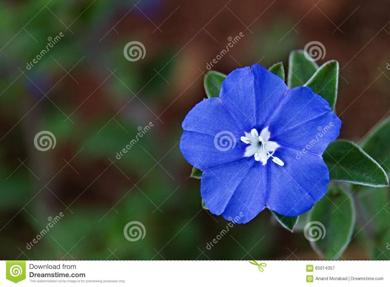 Exelent blue flower with white center image collection images for single baby blue eyes flower with white center stock image image izmirmasajfo