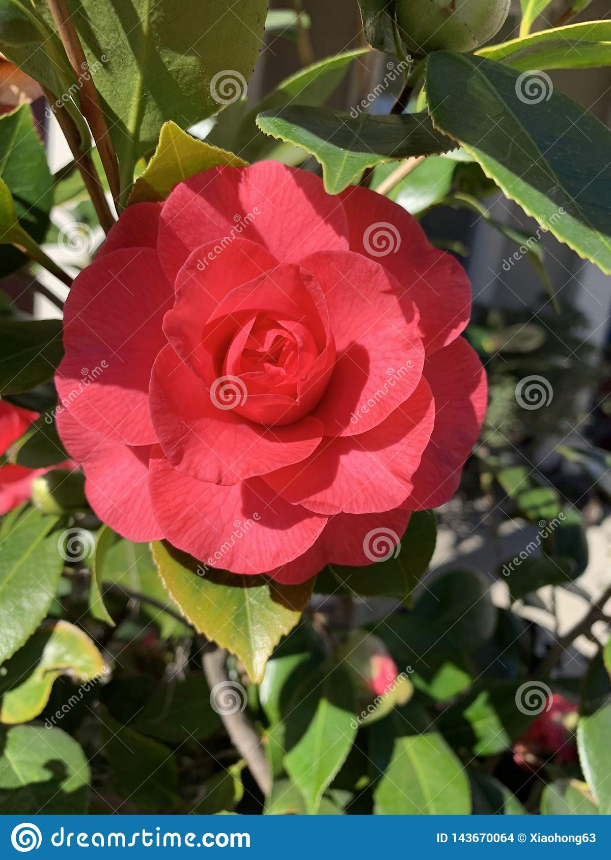 Red Camellia in spring March