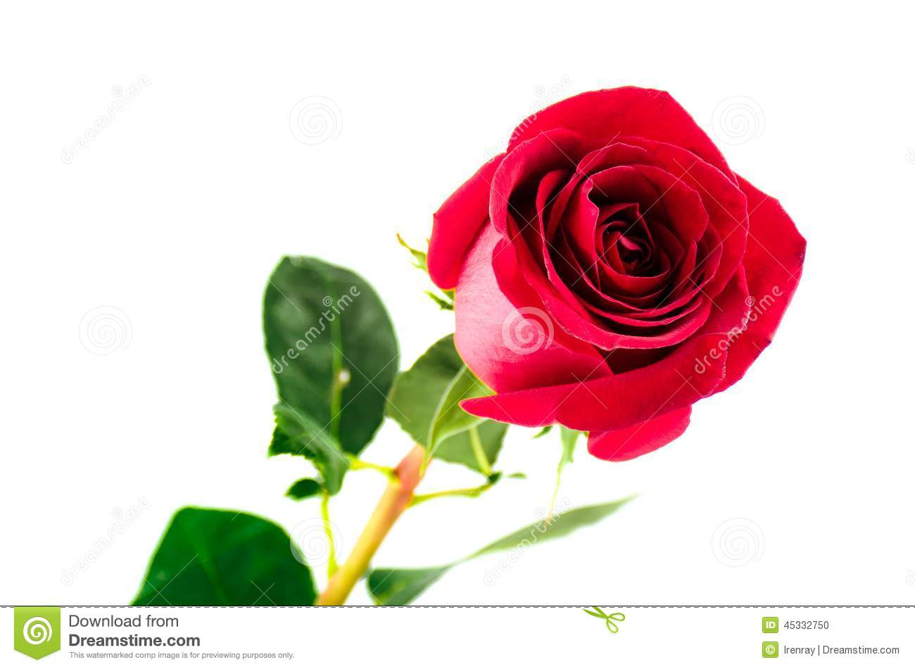 Single Red Rose Flower Stock Images: Single Beautiful Red Rose Stock Photo. Image Of Flower