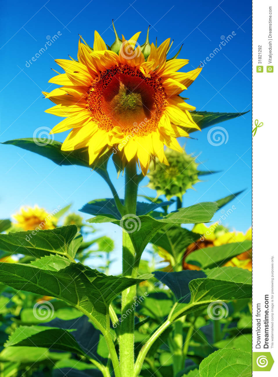 Single beautiful sunflower in the summer field