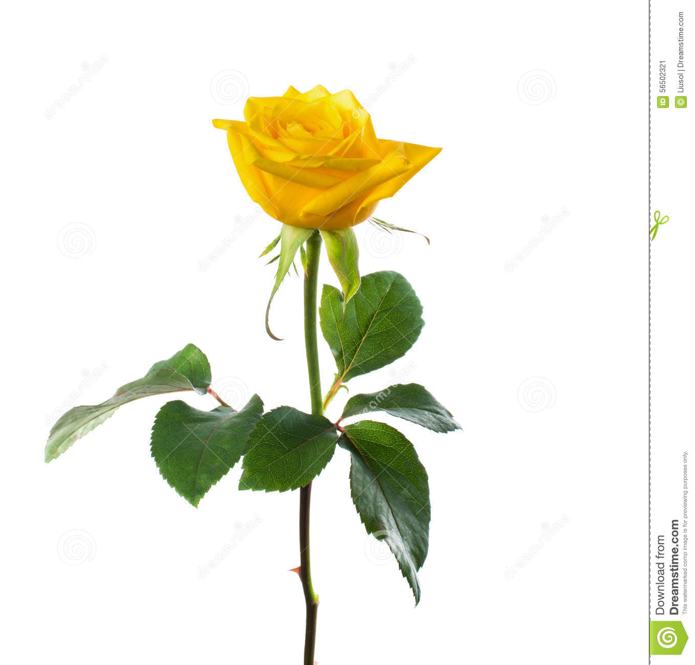 Single beautiful yellow rose stock photo image 56502321 beautiful flower isolated rose single white yellow dhlflorist Image collections