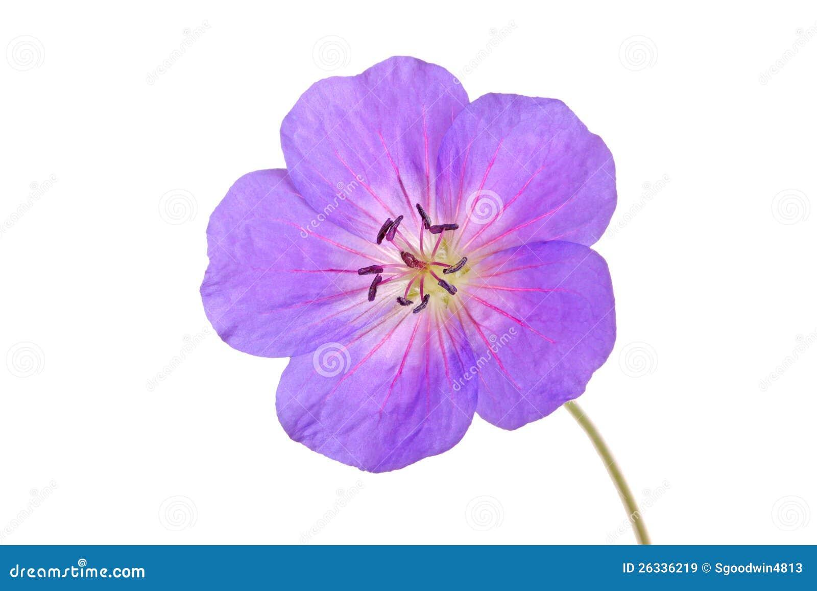 Single blomman av en pelargoncultivar