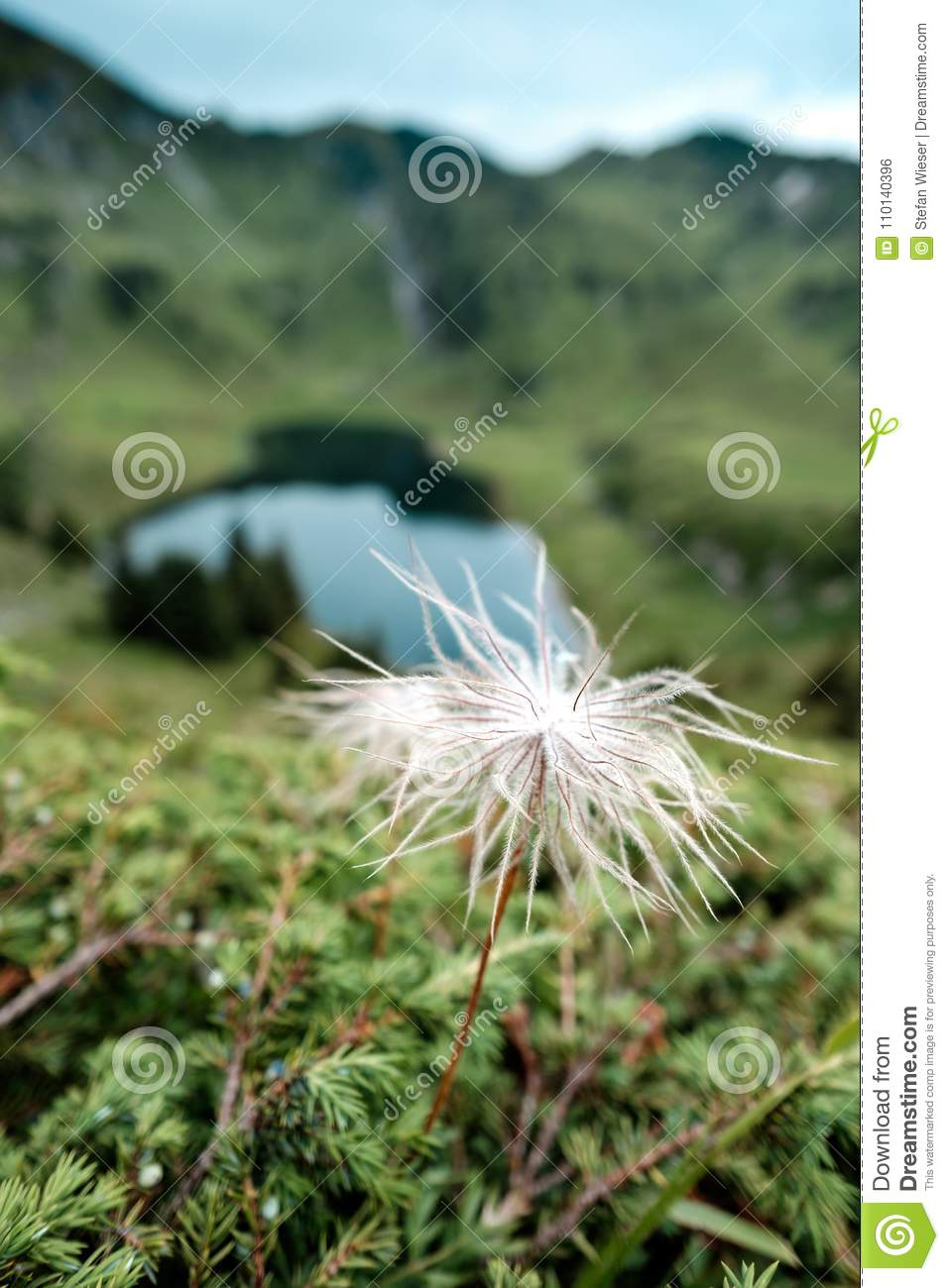 Single blooming white pasque-flower pulsatilla alpina with an