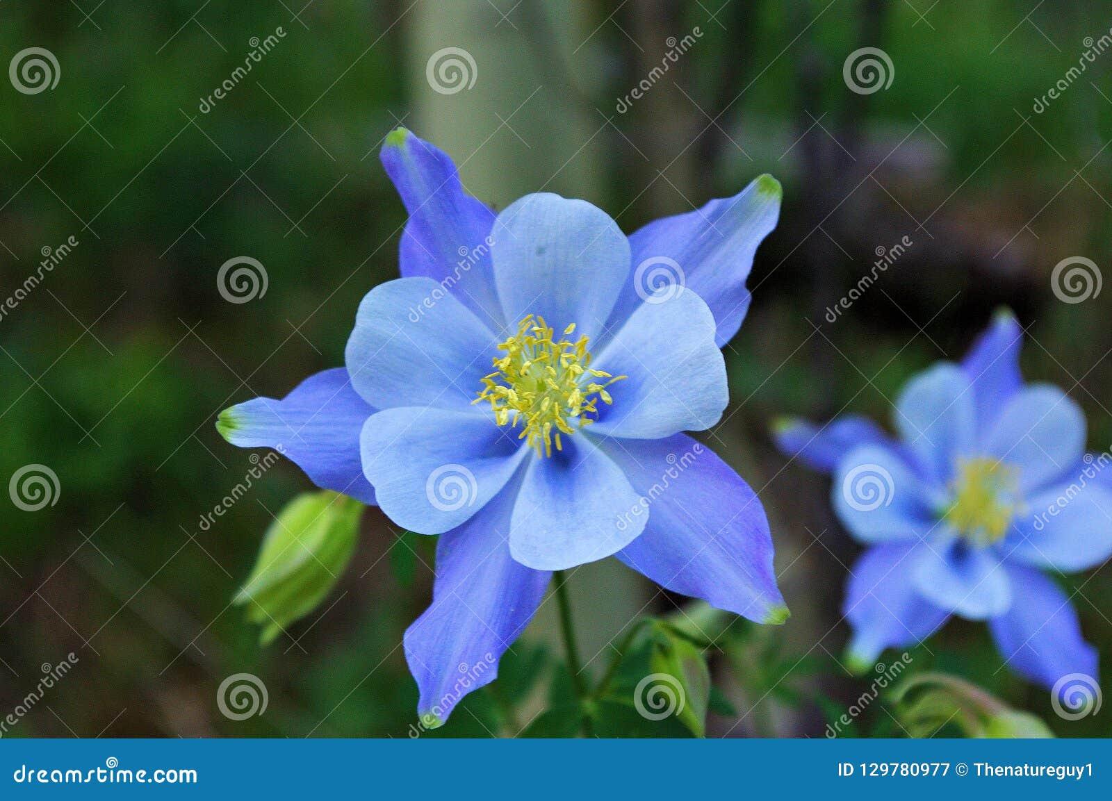 Single Blue Columbine Aquilegia caerulea