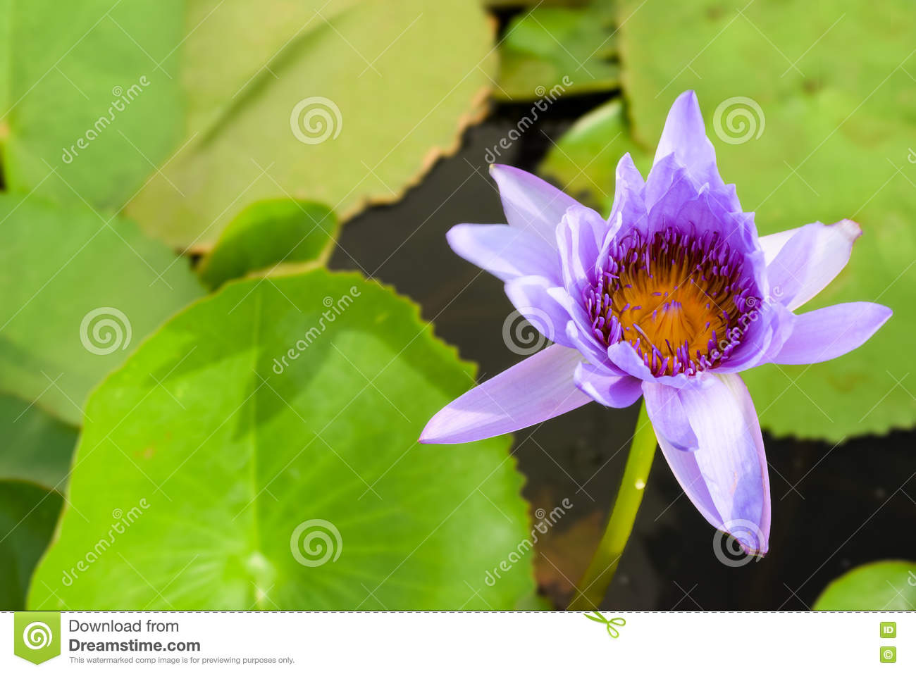 Single blue water lily nymphaeaceae with green lily pad background single blue water lily nymphaeaceae with green lily pad background blue water lilies are the birth flower of july and the national flower of sri lanka izmirmasajfo