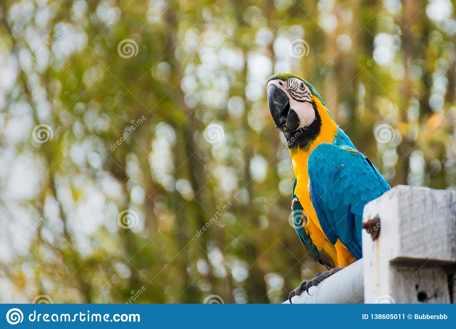 .Single Blue and Yellow Macaw in the Natural background.Thailand