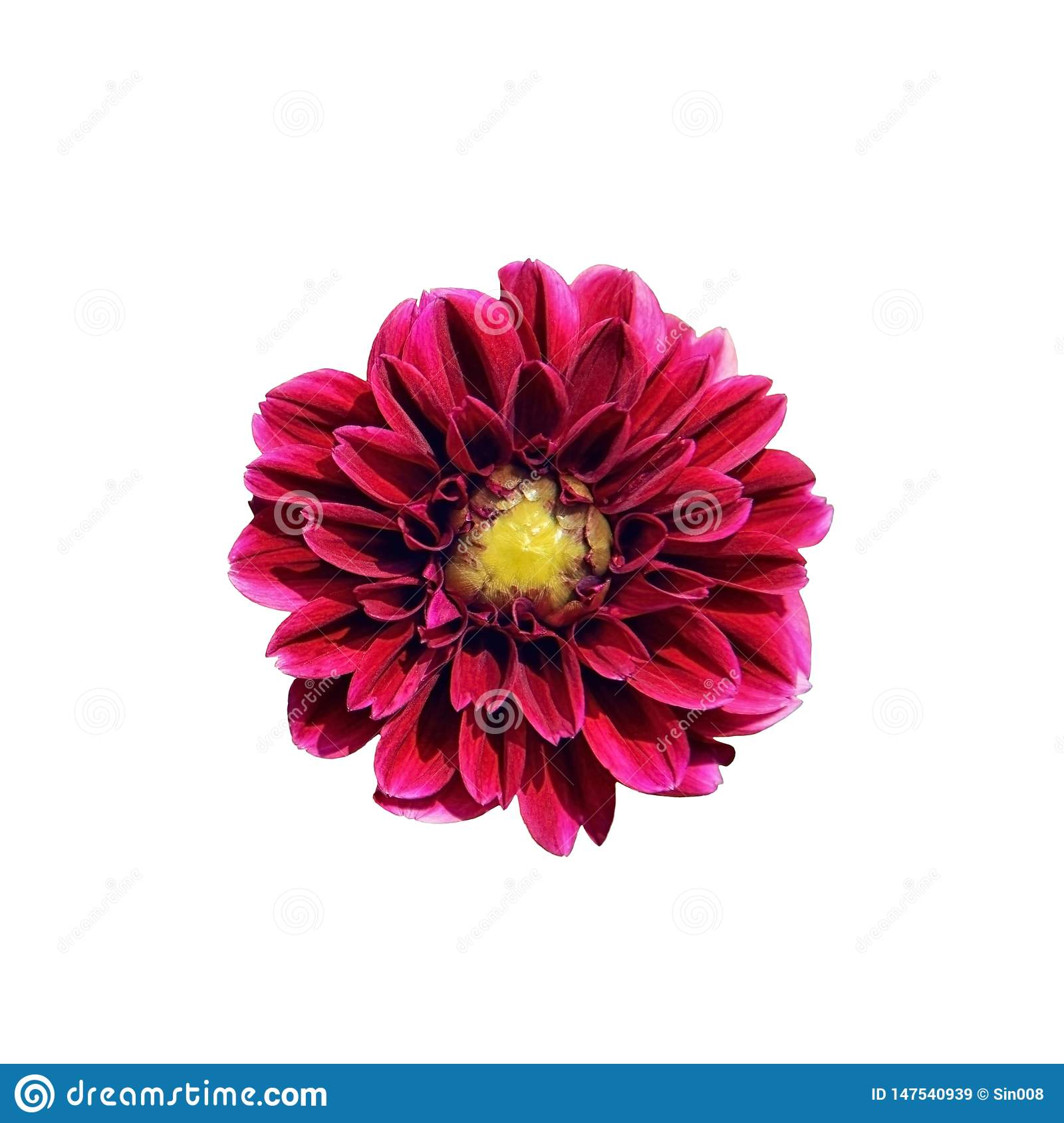 Single bright pink Dahlia flower isolated on white background. Close-up, top view. A beautiful purple flower with a yellow middle