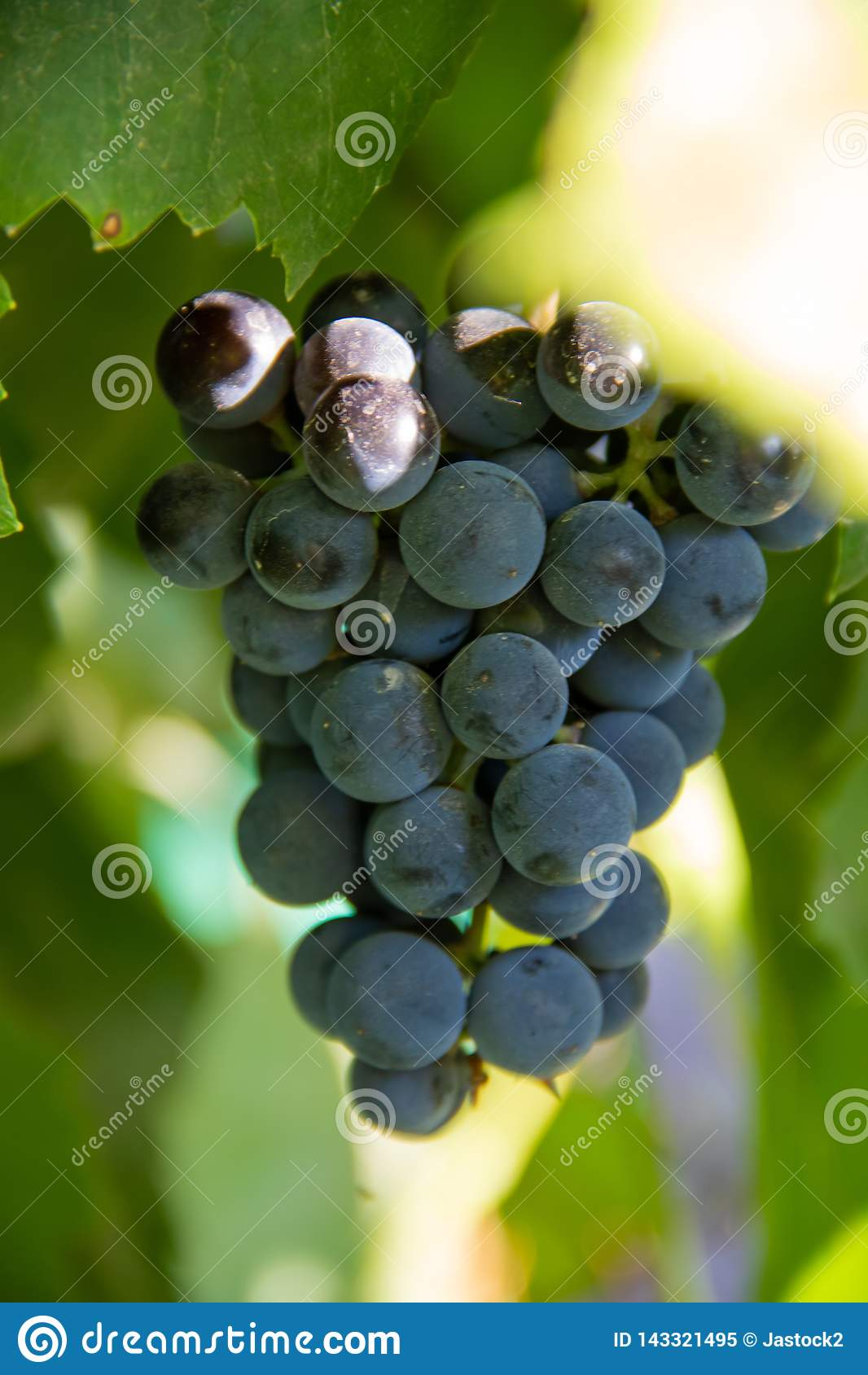 Single bunch of blue vine grapes on tree