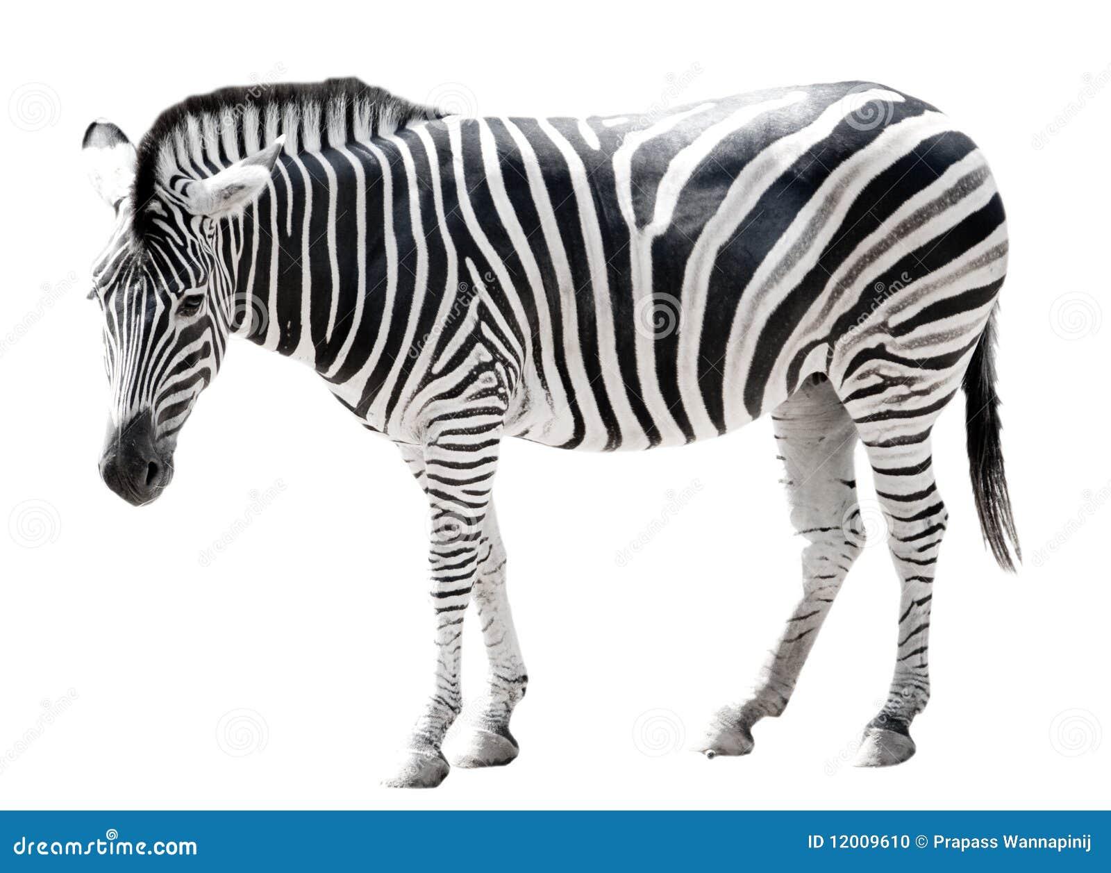 single burchell zebra isolated on white stock photo zebra vector art zebra vector images