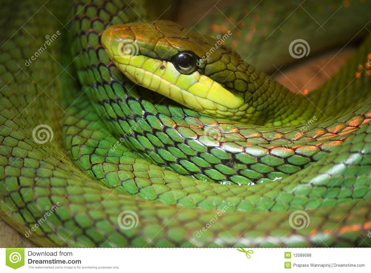 anaconda big and beautiful singles Interesting and fun facts about anaconda  with the victim being as big as a deer  as many as 12 males try to mate with a single female at the same time,.