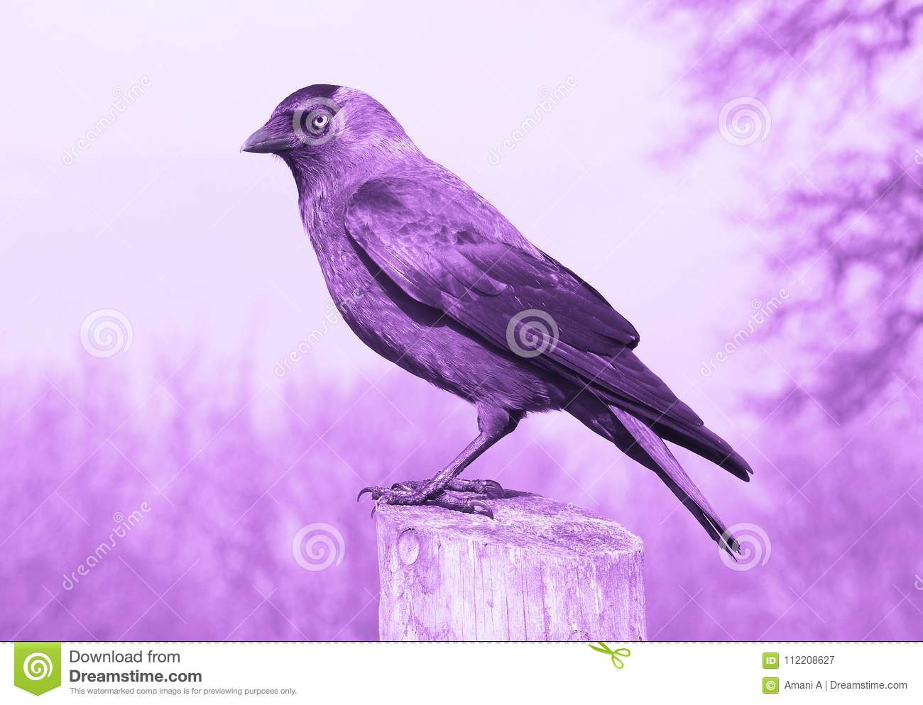 Amethyst Crow in Profile