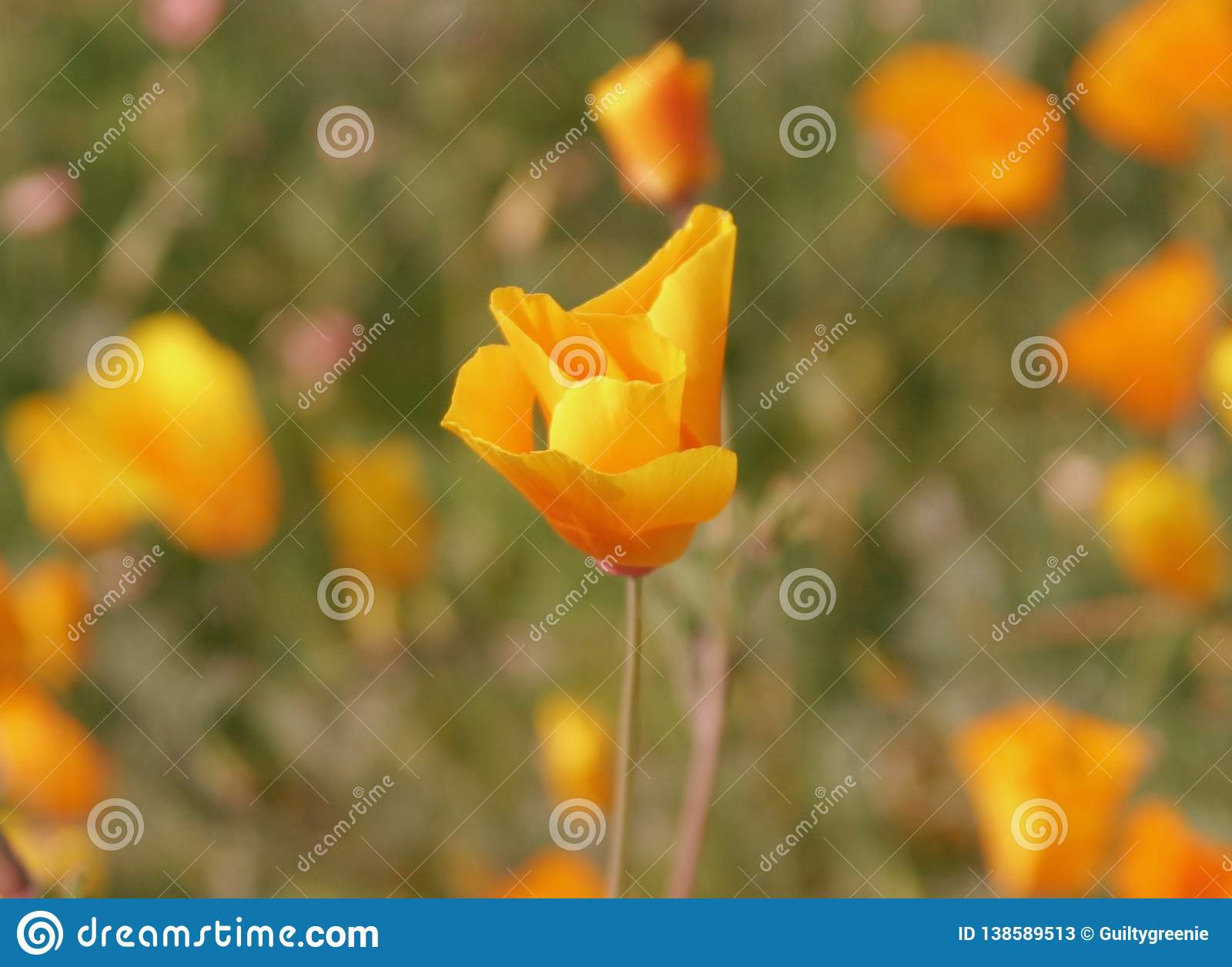 Single Curled California Poppy Flower