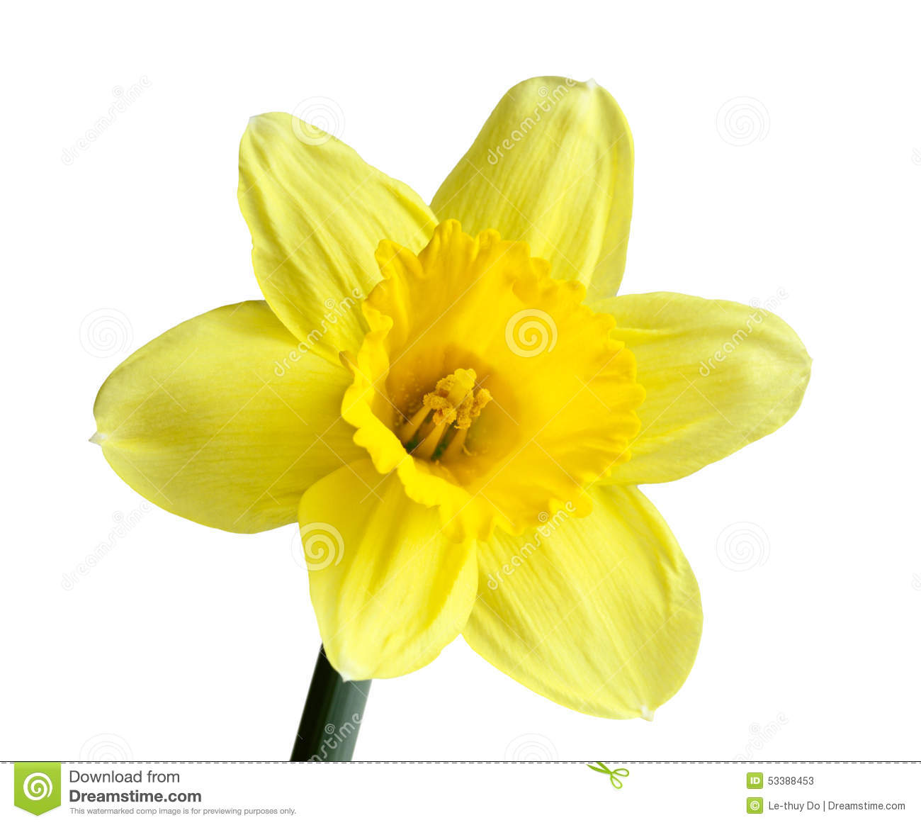 Single Daffodil stock image. Image of head, narcissus ...