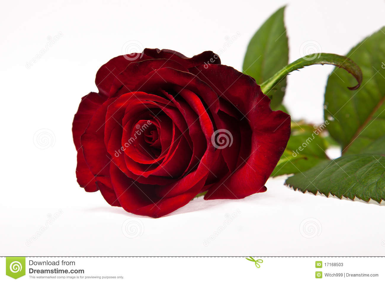Single Red Rose Flower Stock Images: Single Dark Red Rose Flower Stock Photos