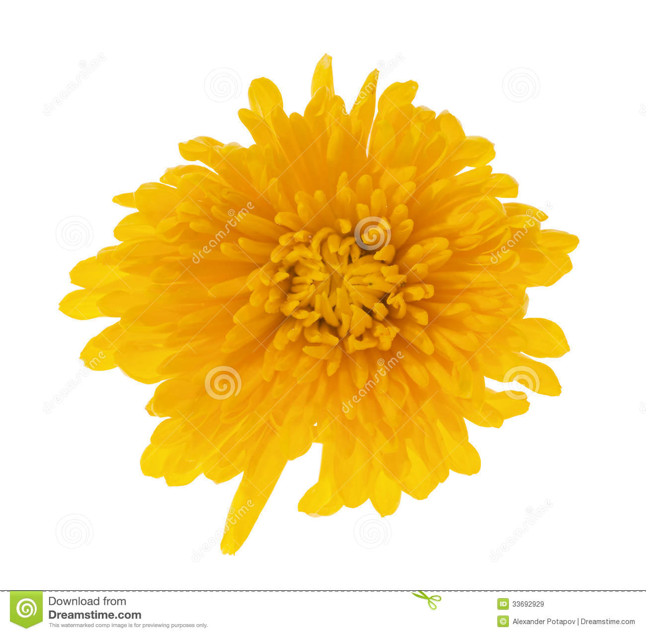 Single Deep Yellow Color Flower Stock Image Image Of Petals White