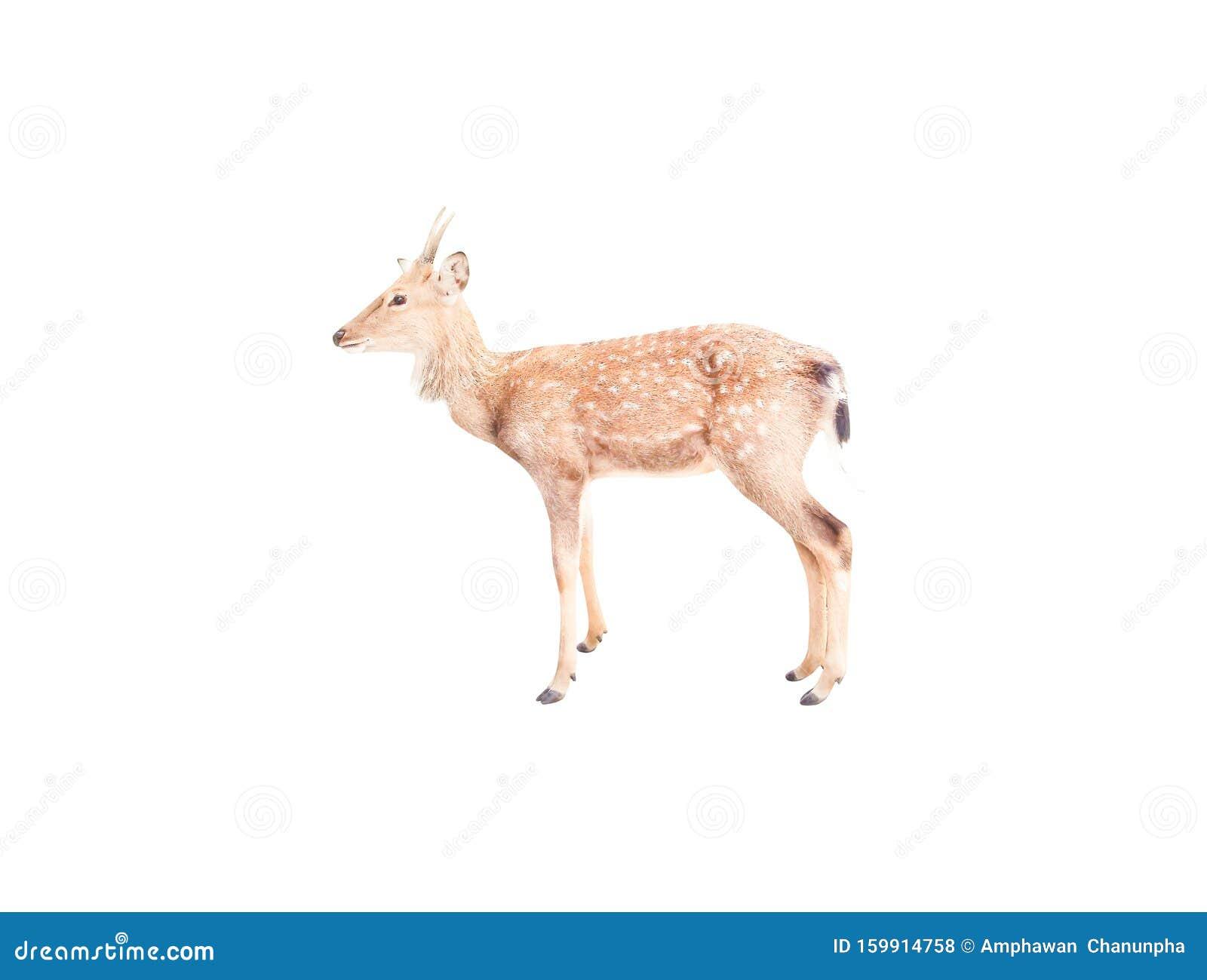 Single horn deer