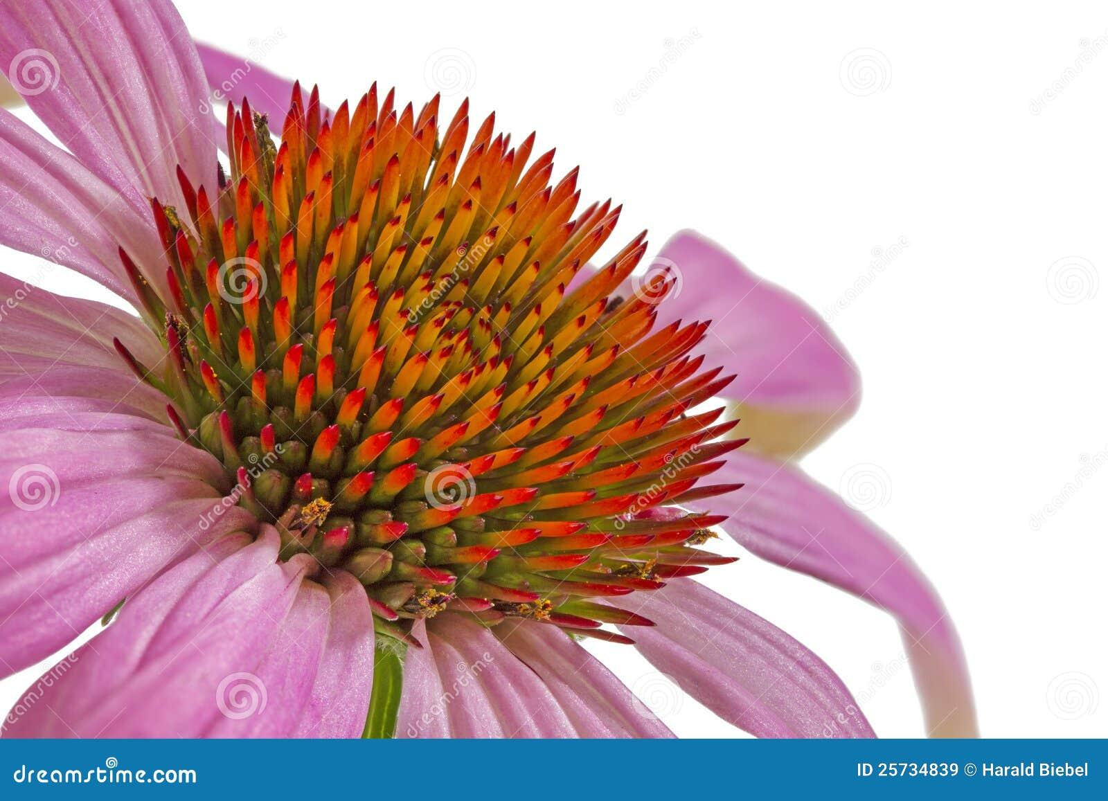 Single echinacea flower, macro