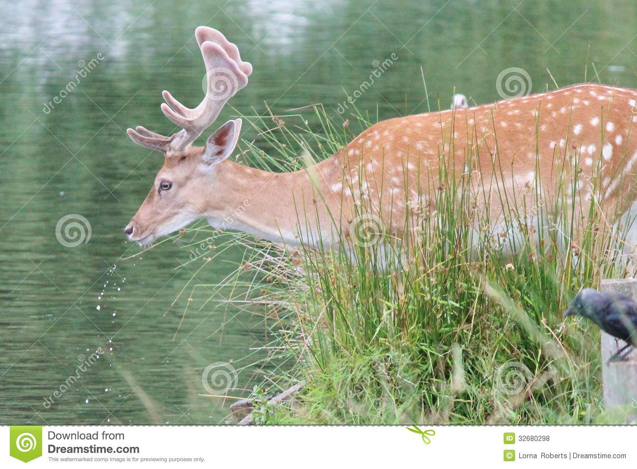 dating a fallow deer