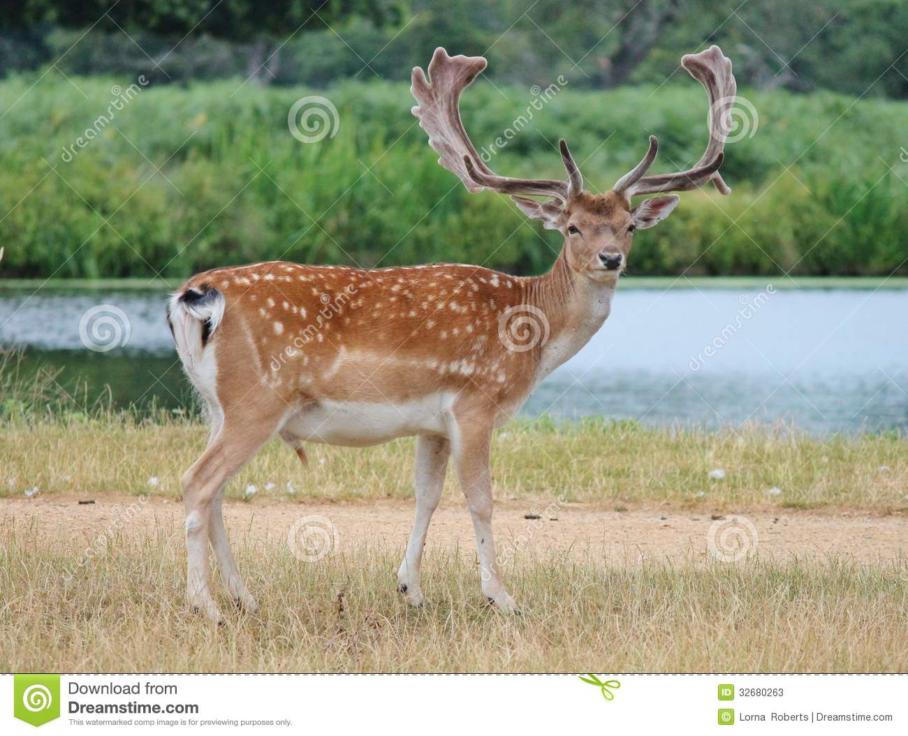 deer fallow stag with antlers