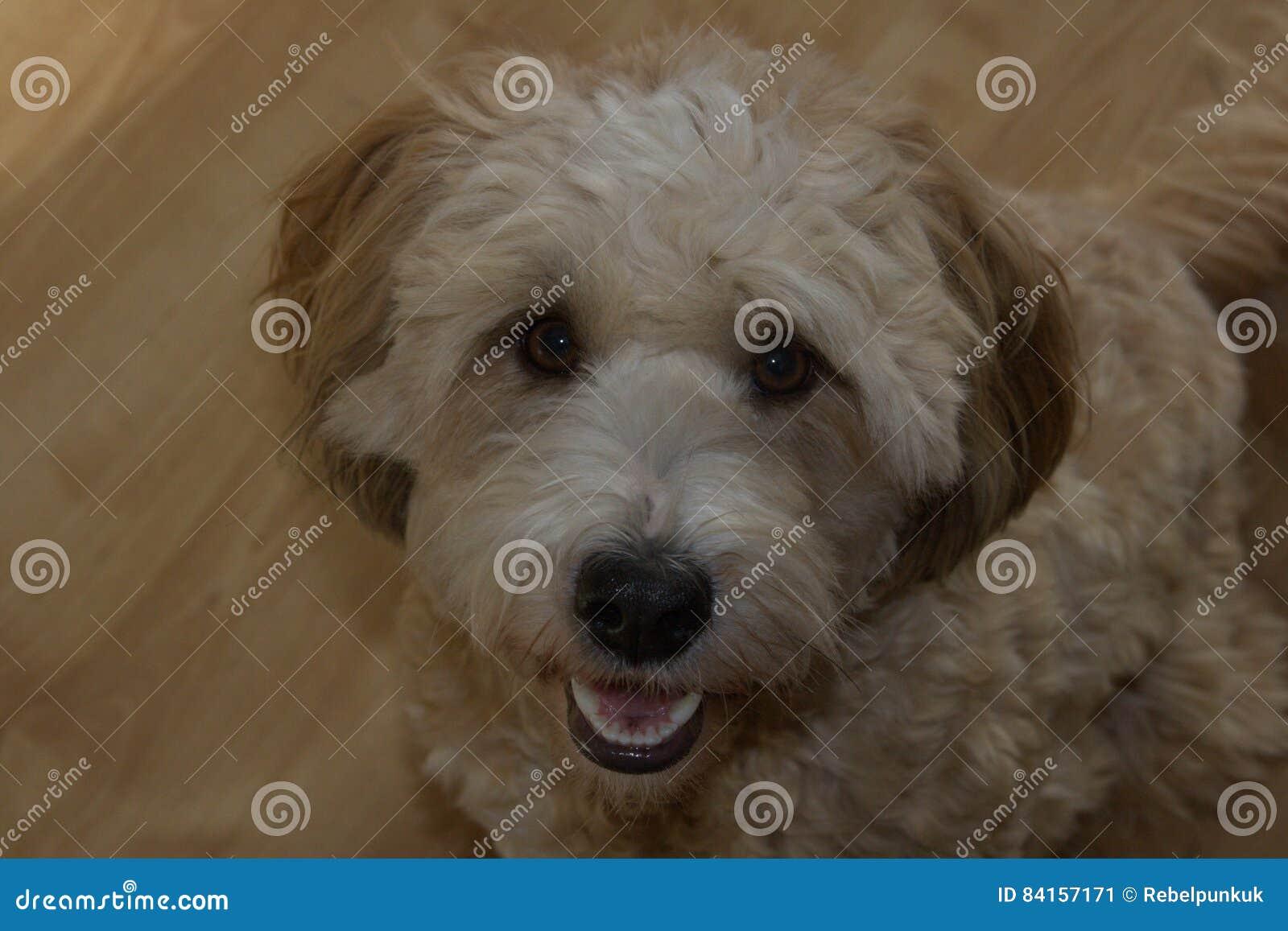 Single female cute dog tibet terrier