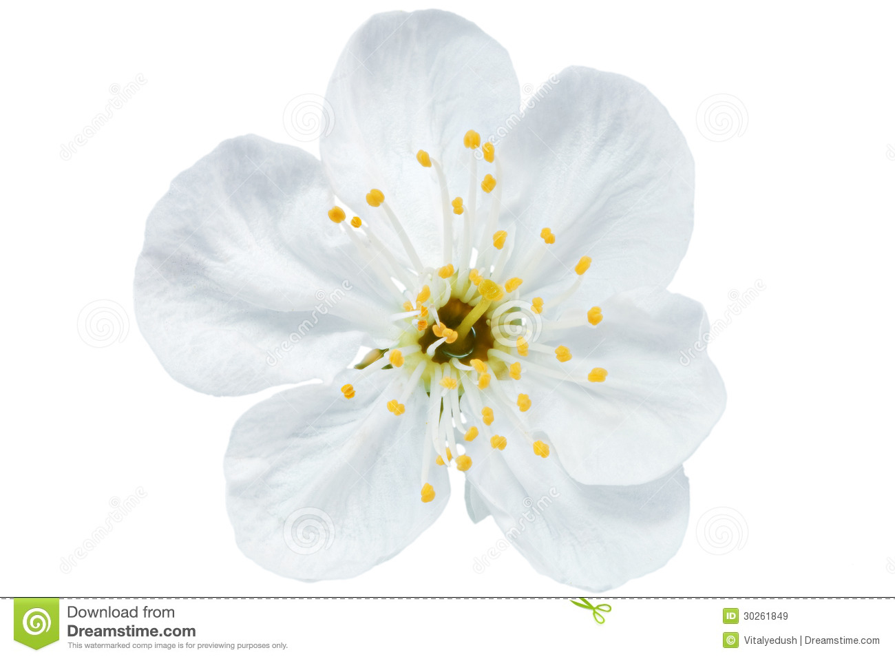 Single flower of cherry isolated on white background stock image download single flower of cherry isolated on white background stock image image of mightylinksfo
