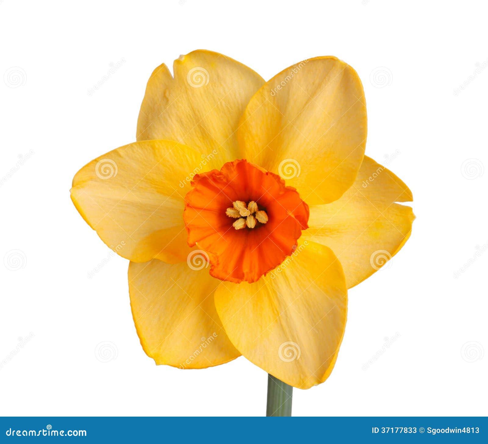 Single flower of a daffodil cultivar against a white background single flower of a daffodil cultivar against a white background mightylinksfo
