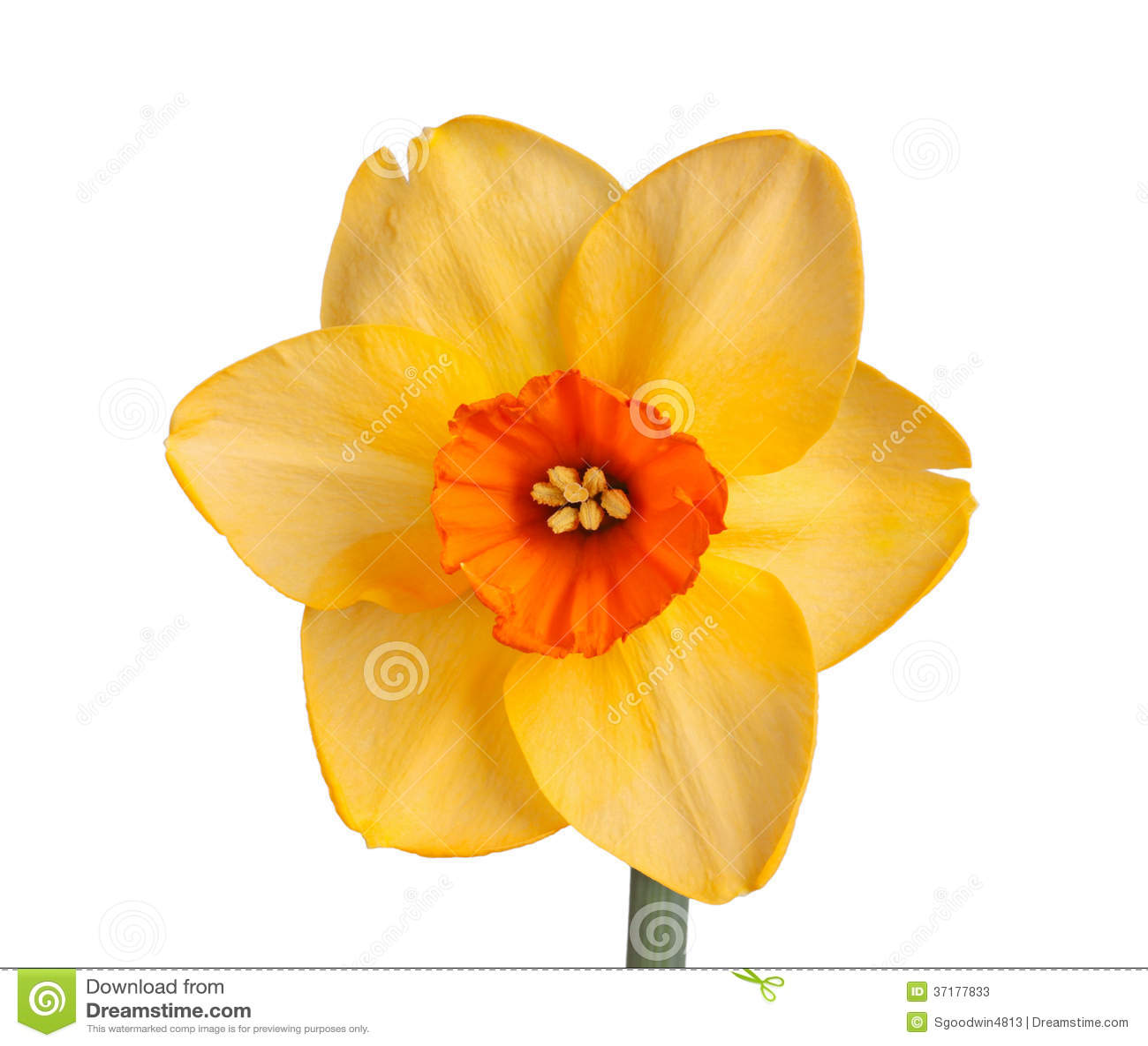 Single Flower Of A Daffodil Cultivar Against A White Background