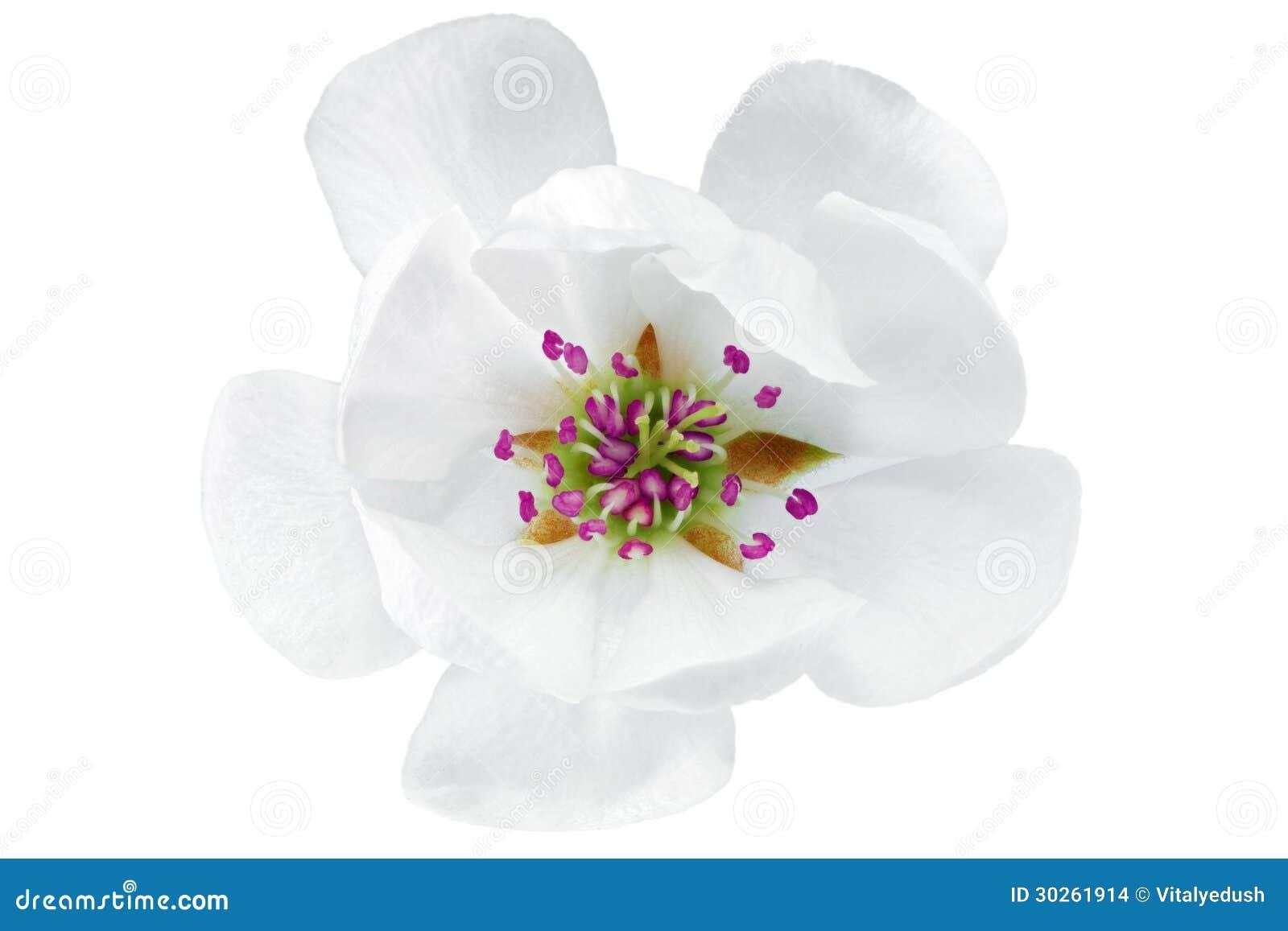Single Flower Of Magnolia Isolated On White Background