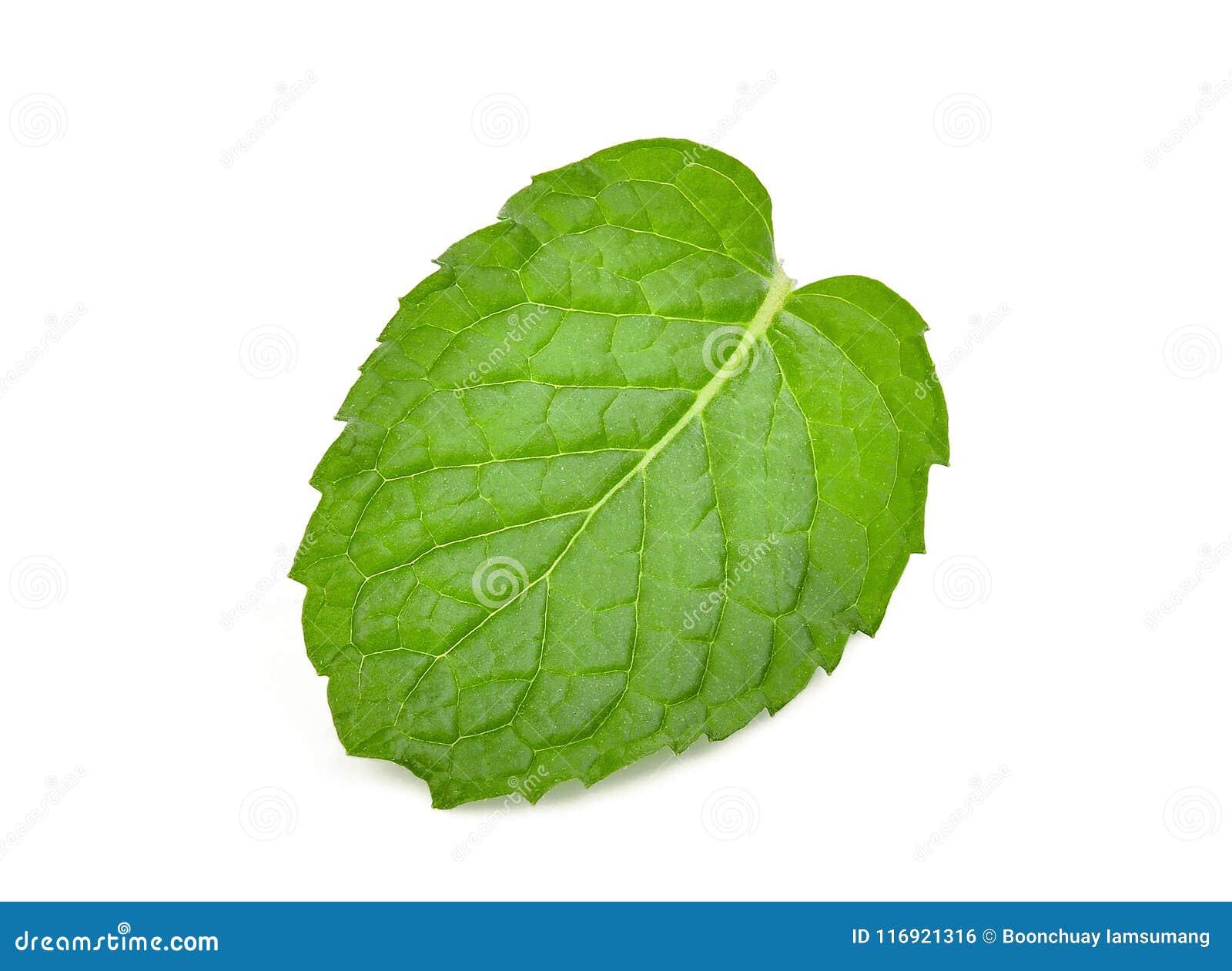 Single fresh mint leaf isolated on white