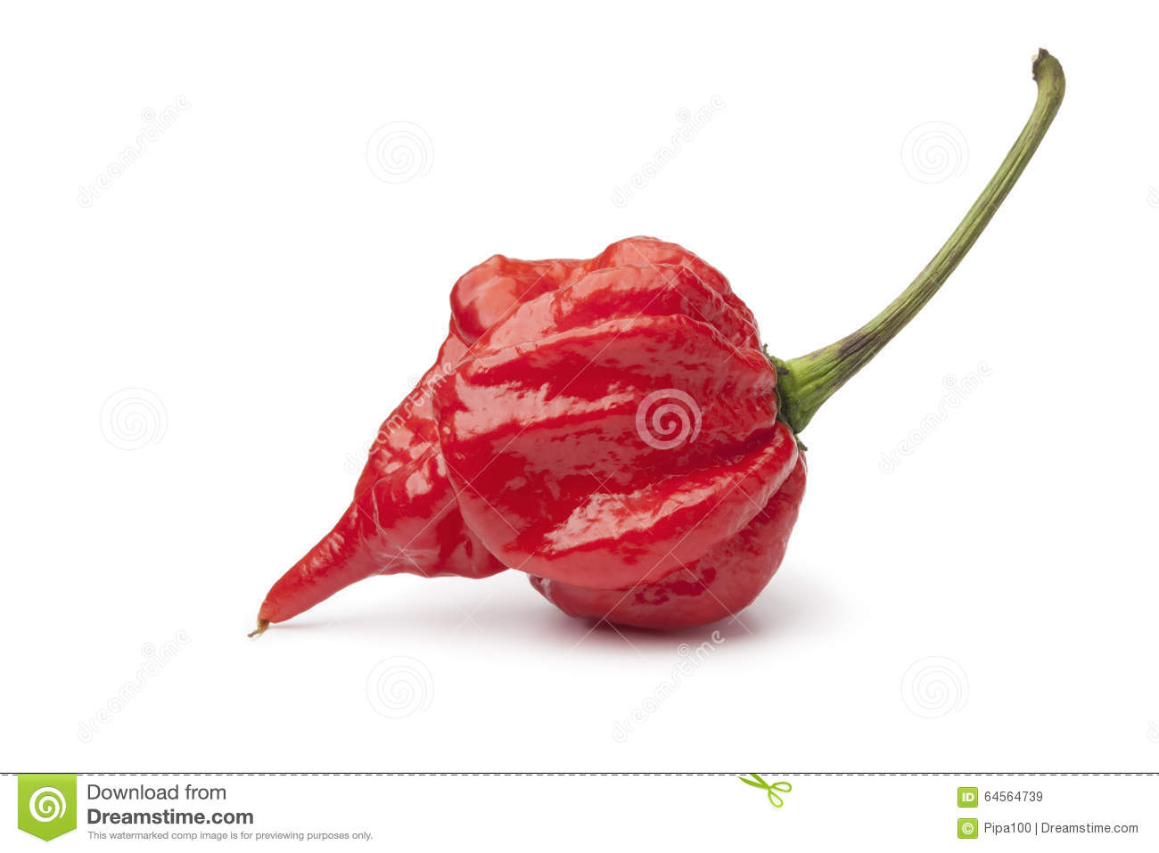 Single fresh red scorpion chili pepper