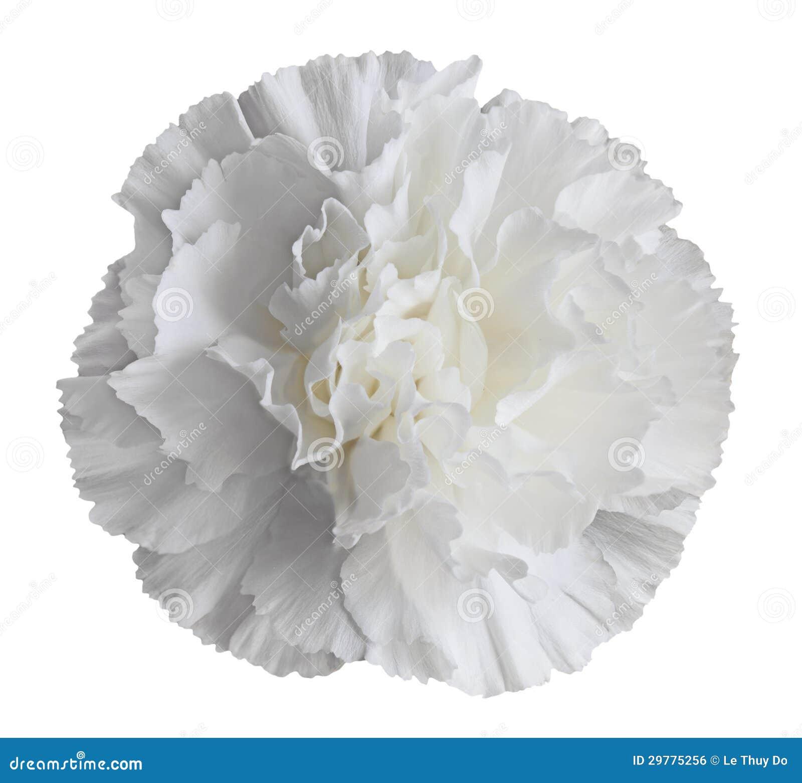 White Carnation Flower Stock Photo Image Of Object White 29775256