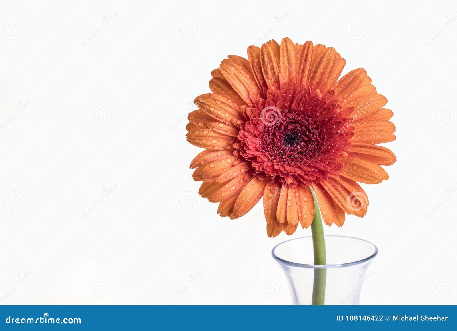 Single Gerbera Orange Daisy Flower In A Vase Stock Photo ...