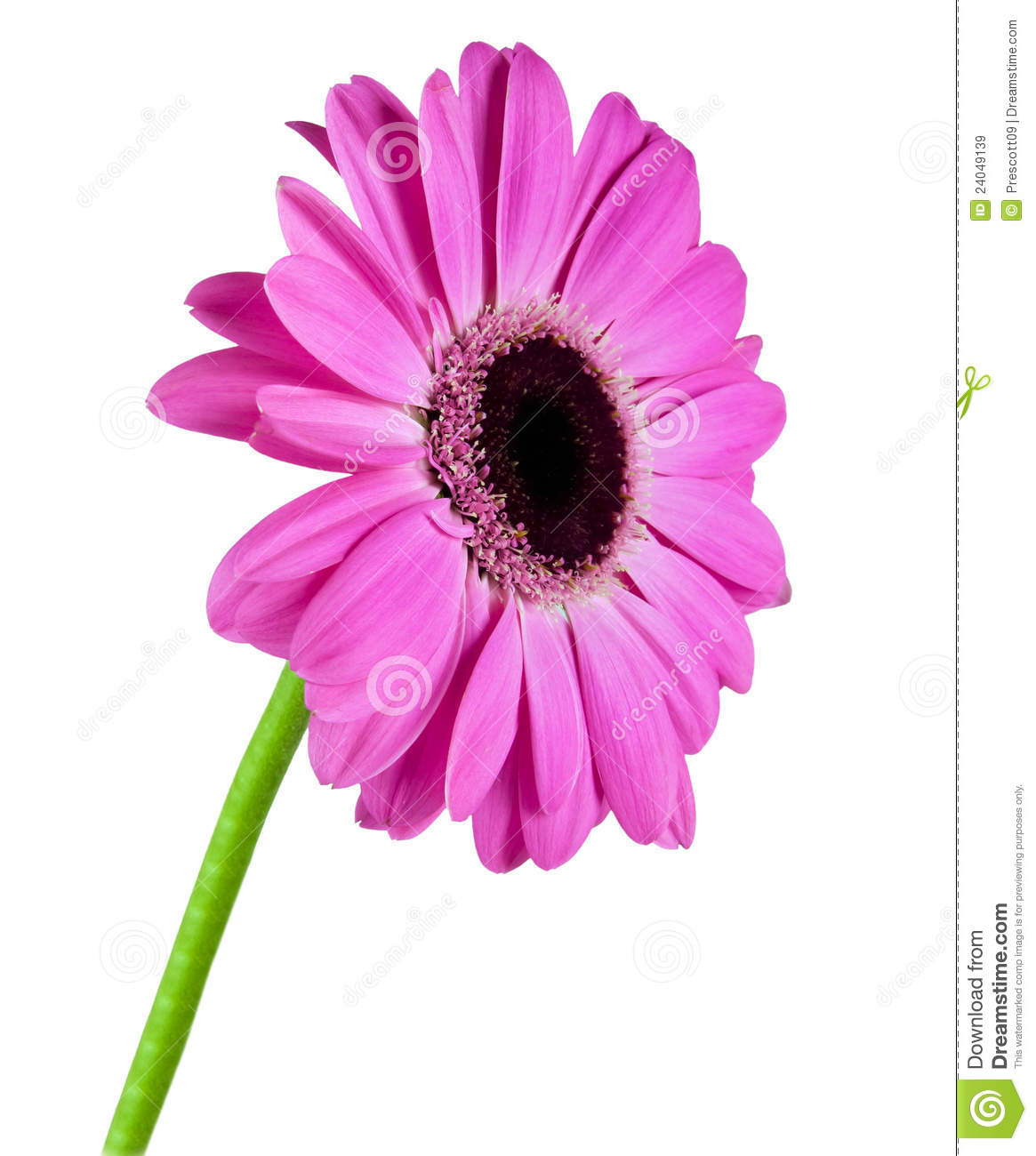 Single Gerbera Flower Royalty Free Stock Images - Image: 24049139