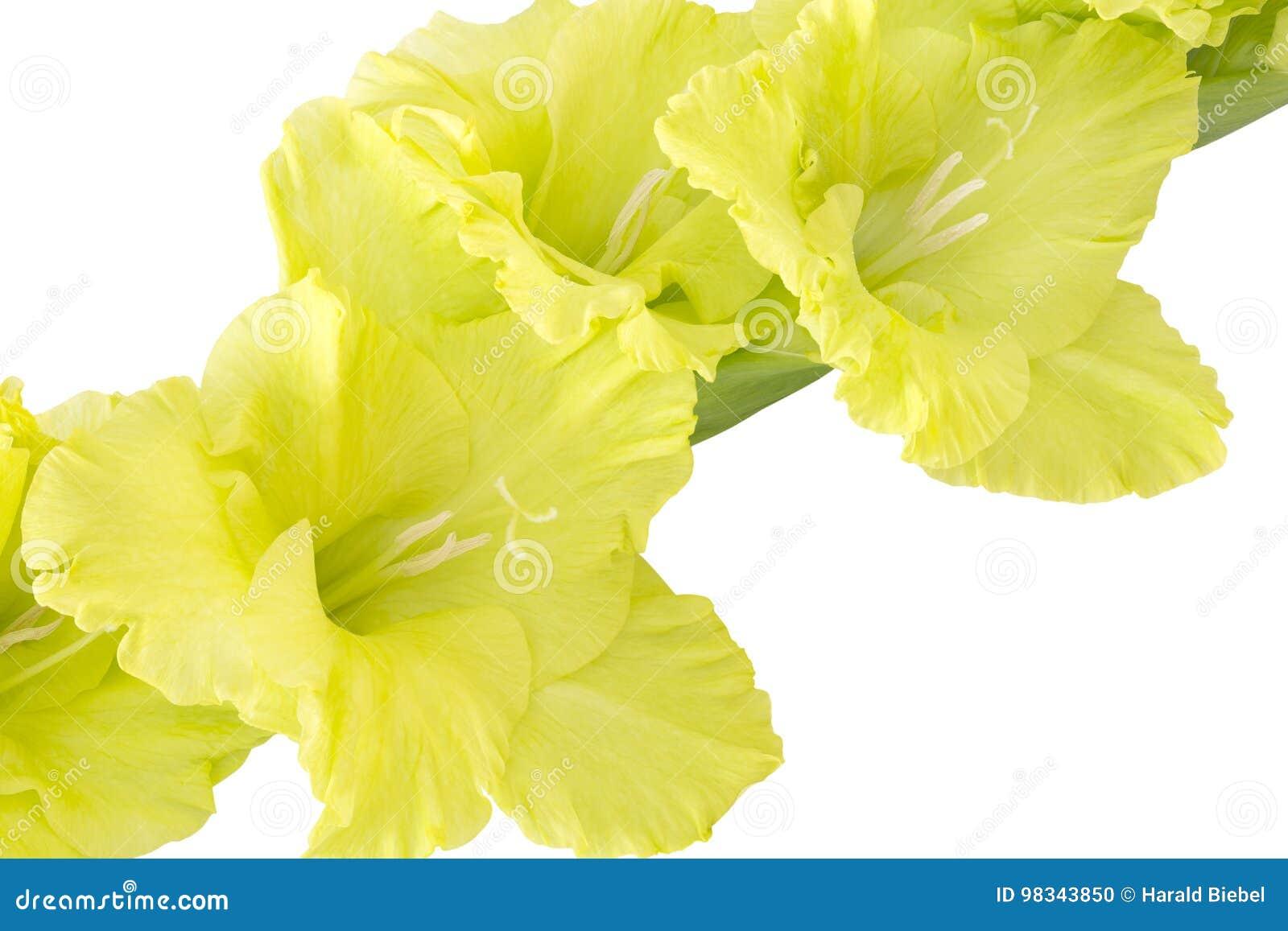 Single gladiolus flower on white stock photo image of card pastel download single gladiolus flower on white stock photo image of card pastel 98343850 mightylinksfo