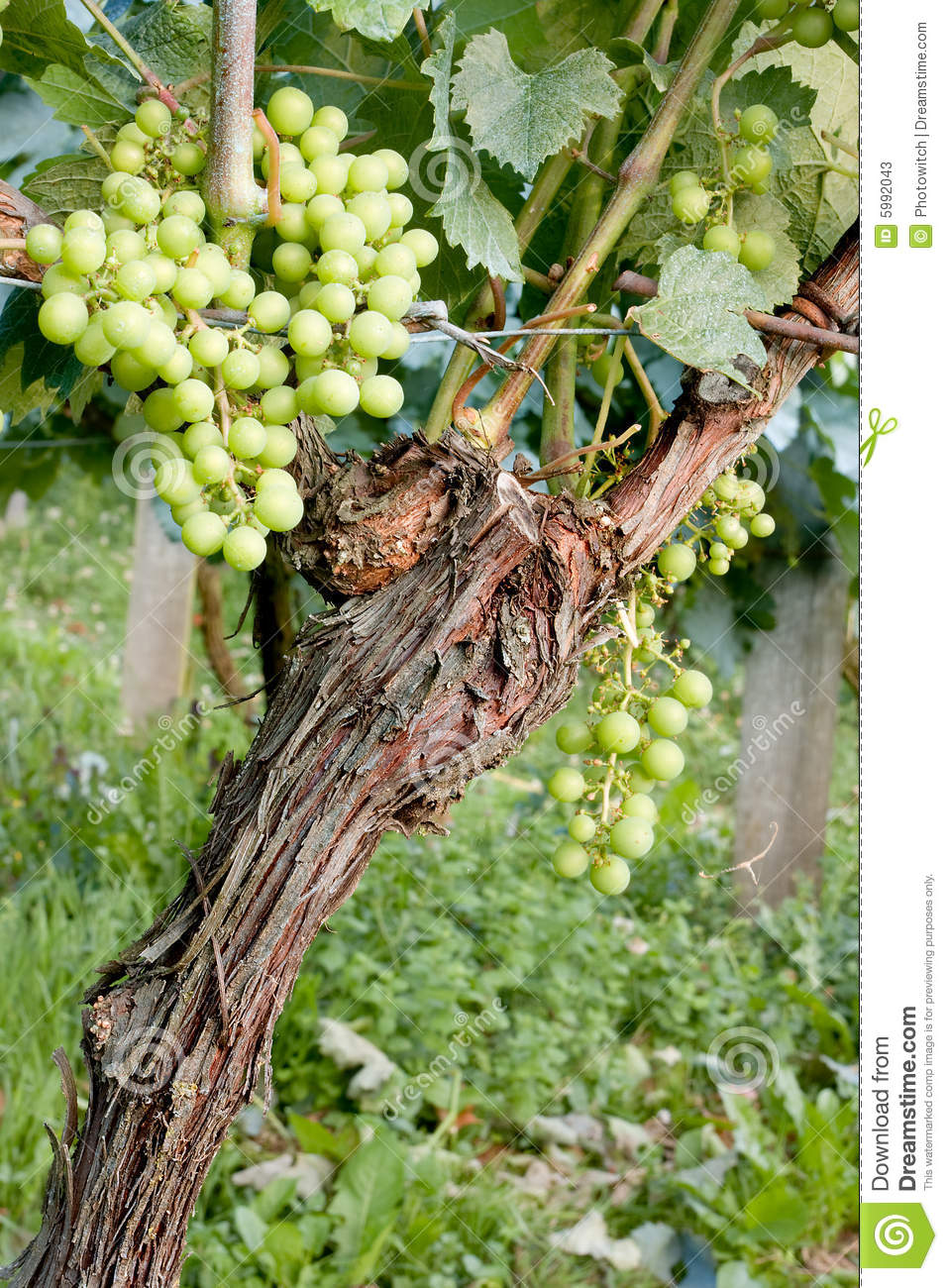 Closeup of a single grapevine in a French vineyard.