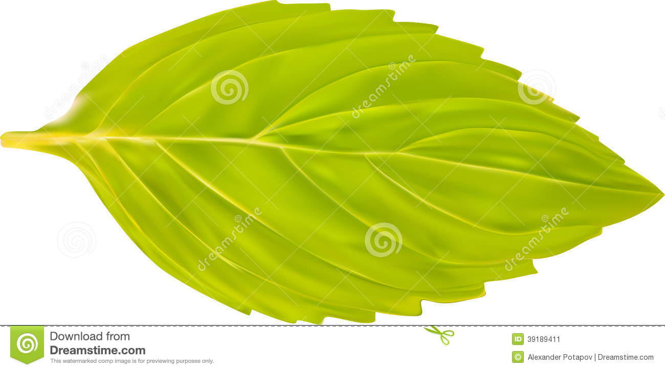 Single Green Mint Leaf Illustration Stock Vector - Image ...